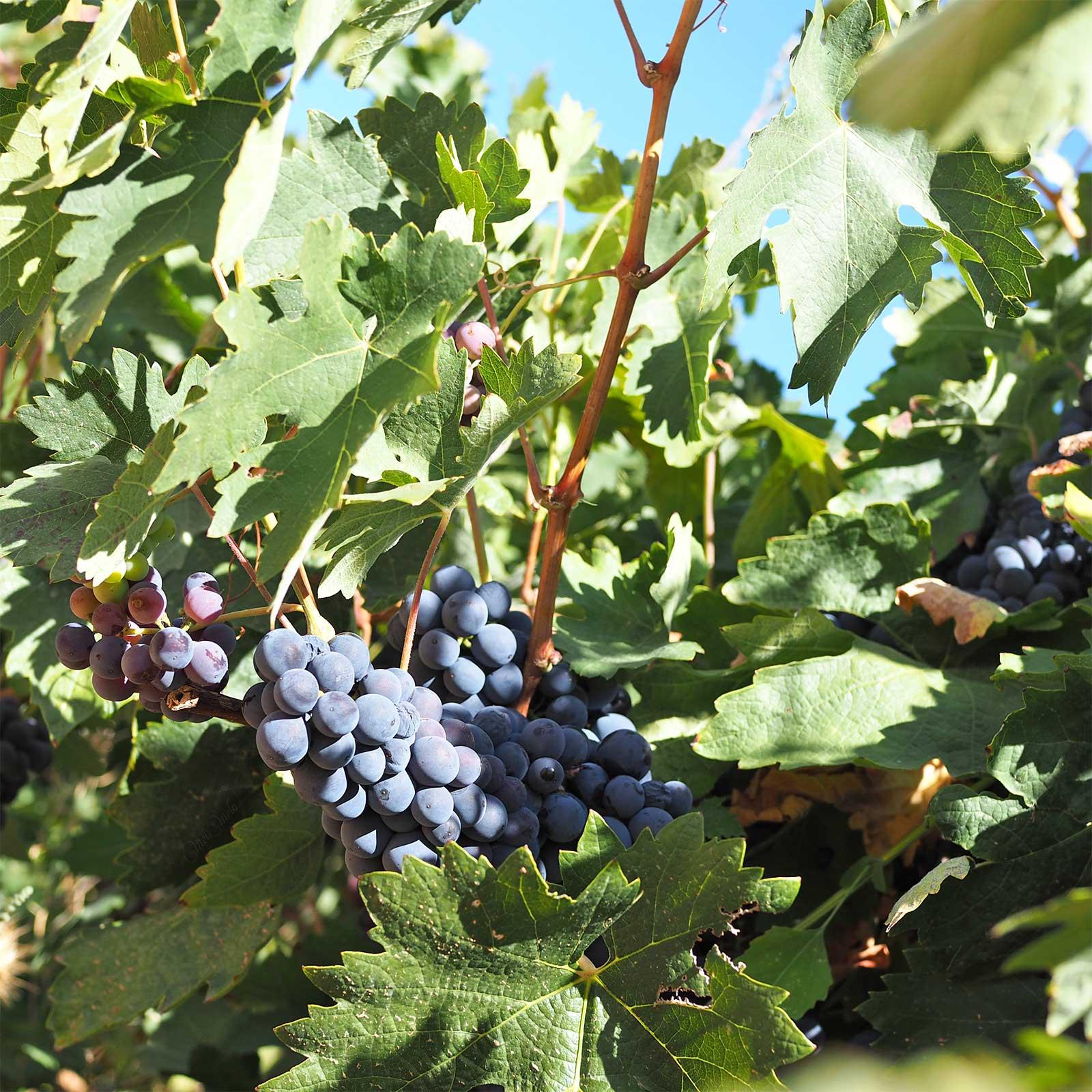 à velo été indien raisin uvas Cigales Valladolid septiembre octubre en bici yoniquenews