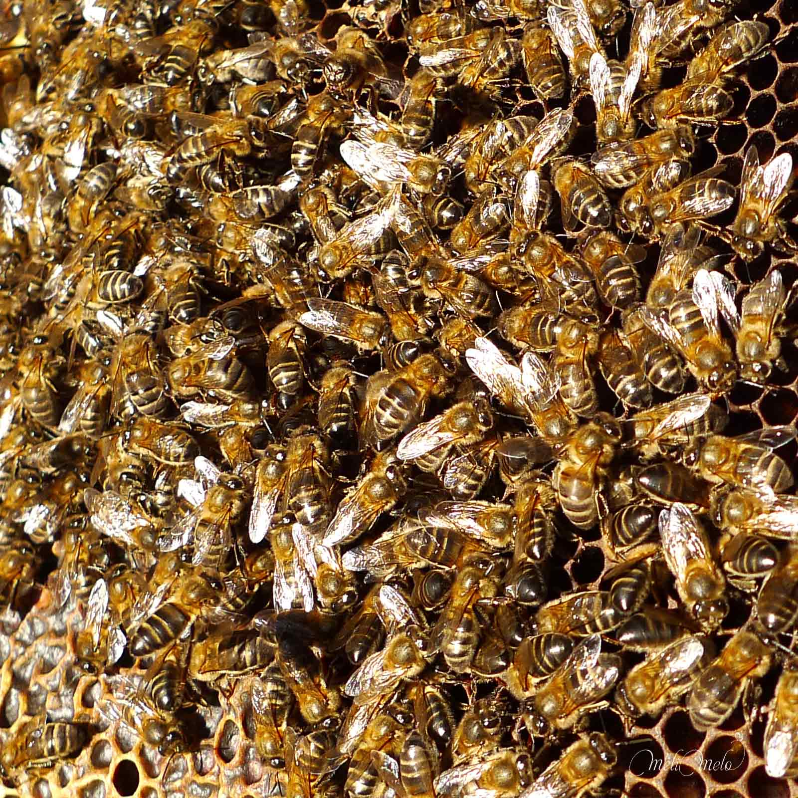 abeilles-sur-cadre-ruche-laboutiquedemelimelo