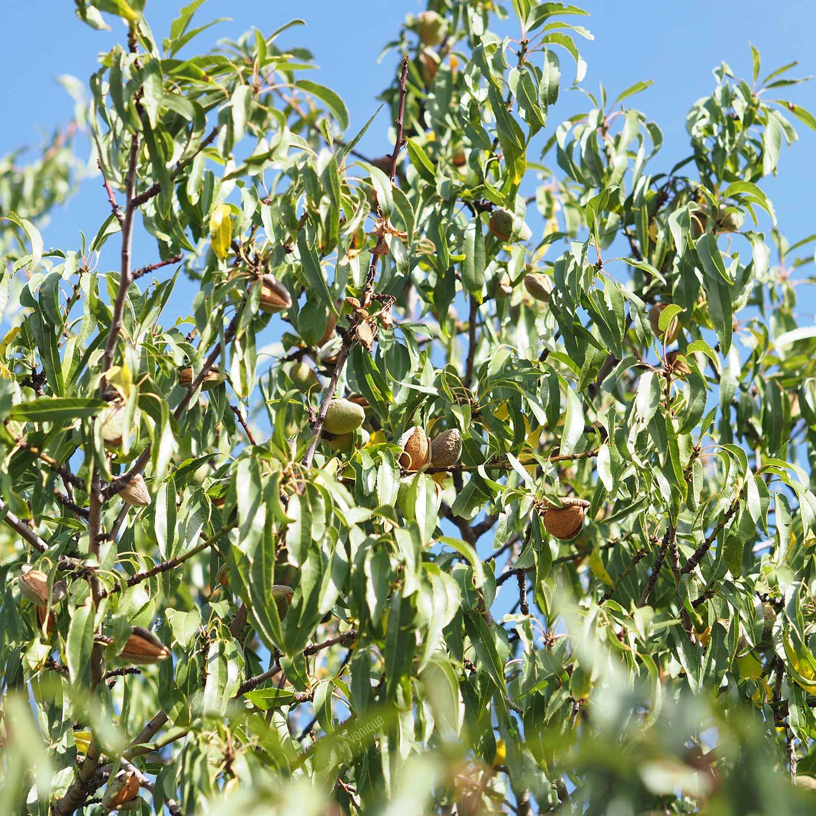 amandier-amande-almond-september-cigales-castilla-leon-laboutiquedemelimelo
