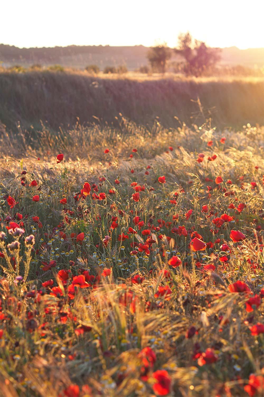 campos amapolas valladolid cyl bici puesta sol yoniquenews laboutiquedemelimelo