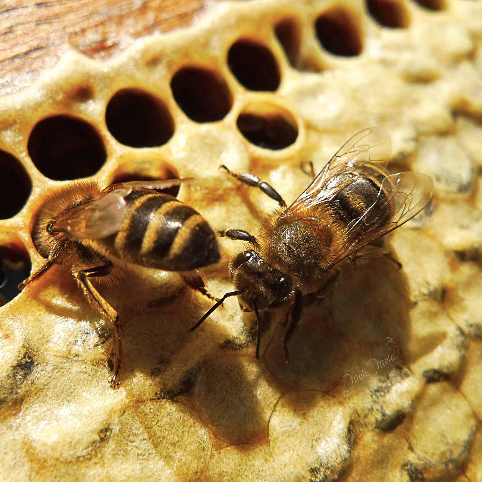 apiculture-naturelle-abeilles-sur-cadre-ruche-laboutiquedemelimelo