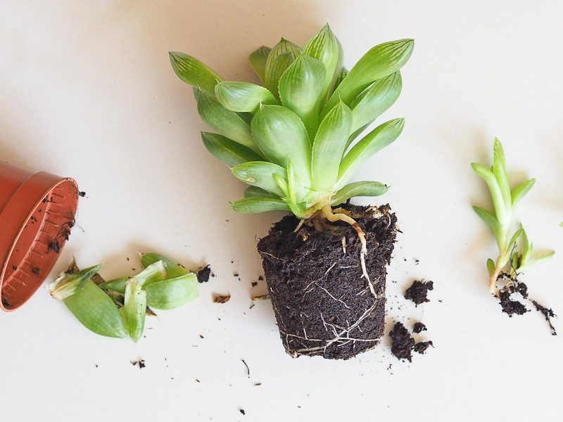 baby gardening succulent Haworthia Cymbiformis La Boutique de MeliMelo