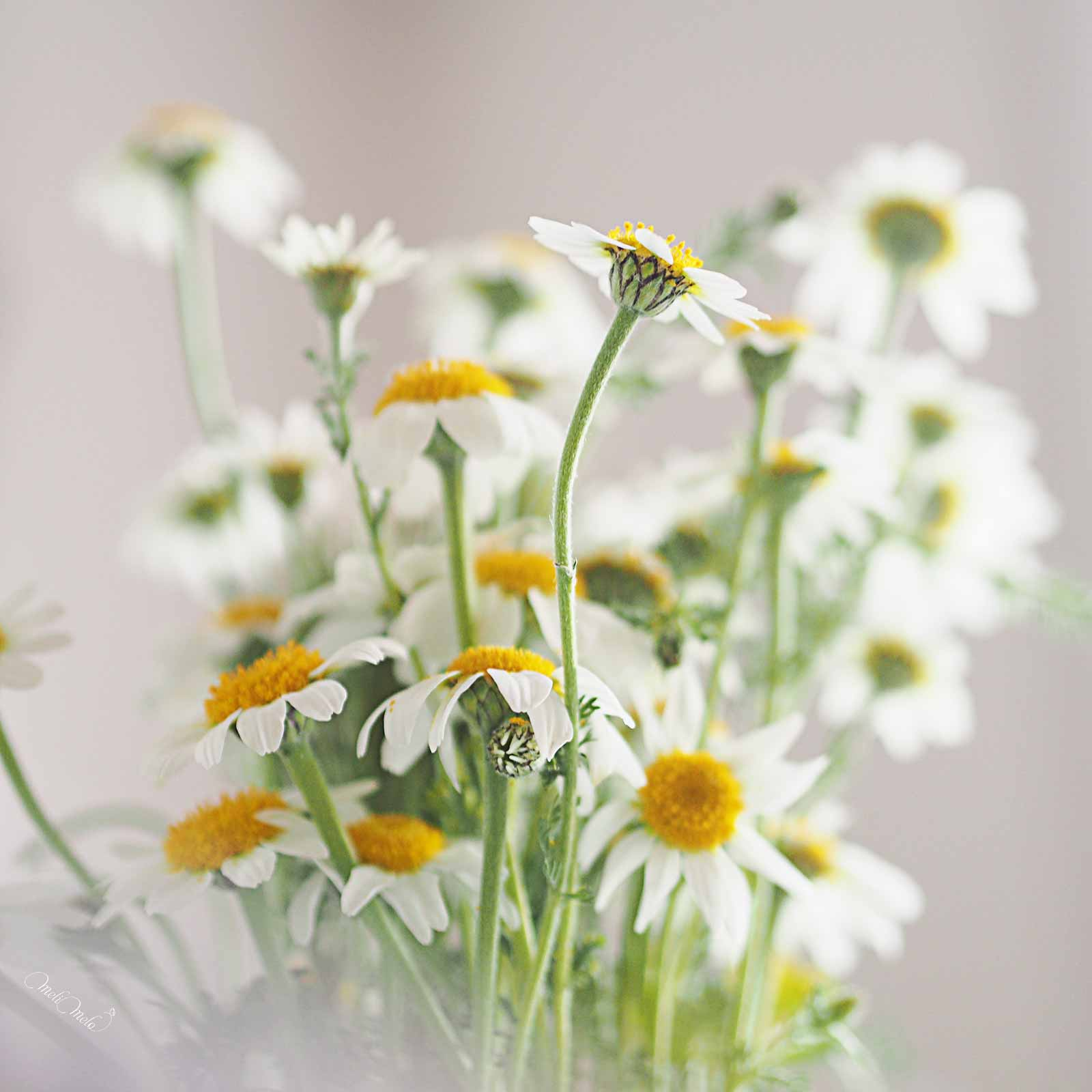 bouquet de marguerites love fleurs laboutiquedemelimelo