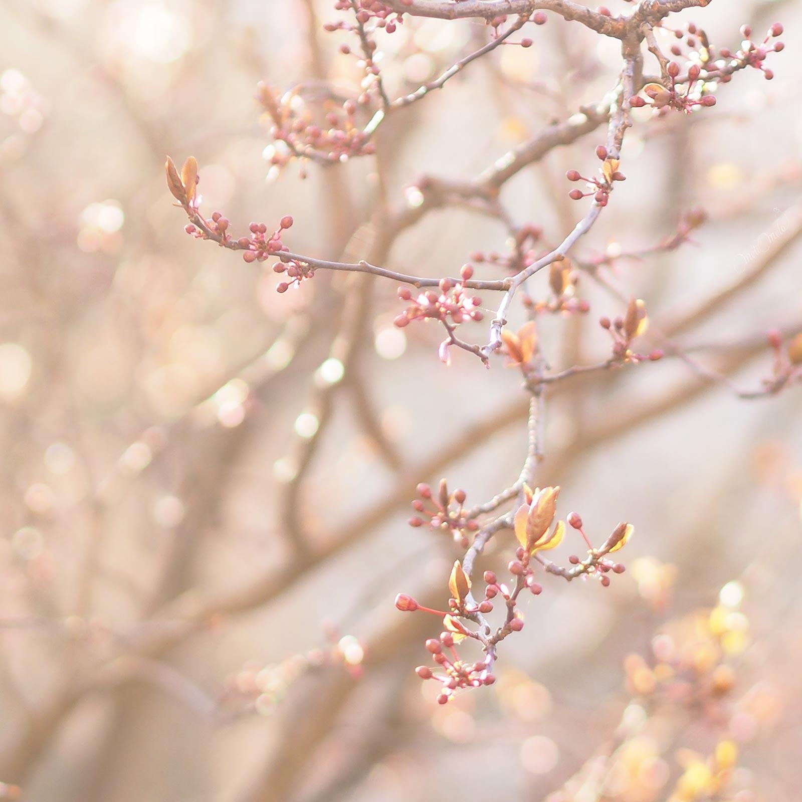 bourgeons prunus floraison flowersbymelimelo Boutique MeliMelo