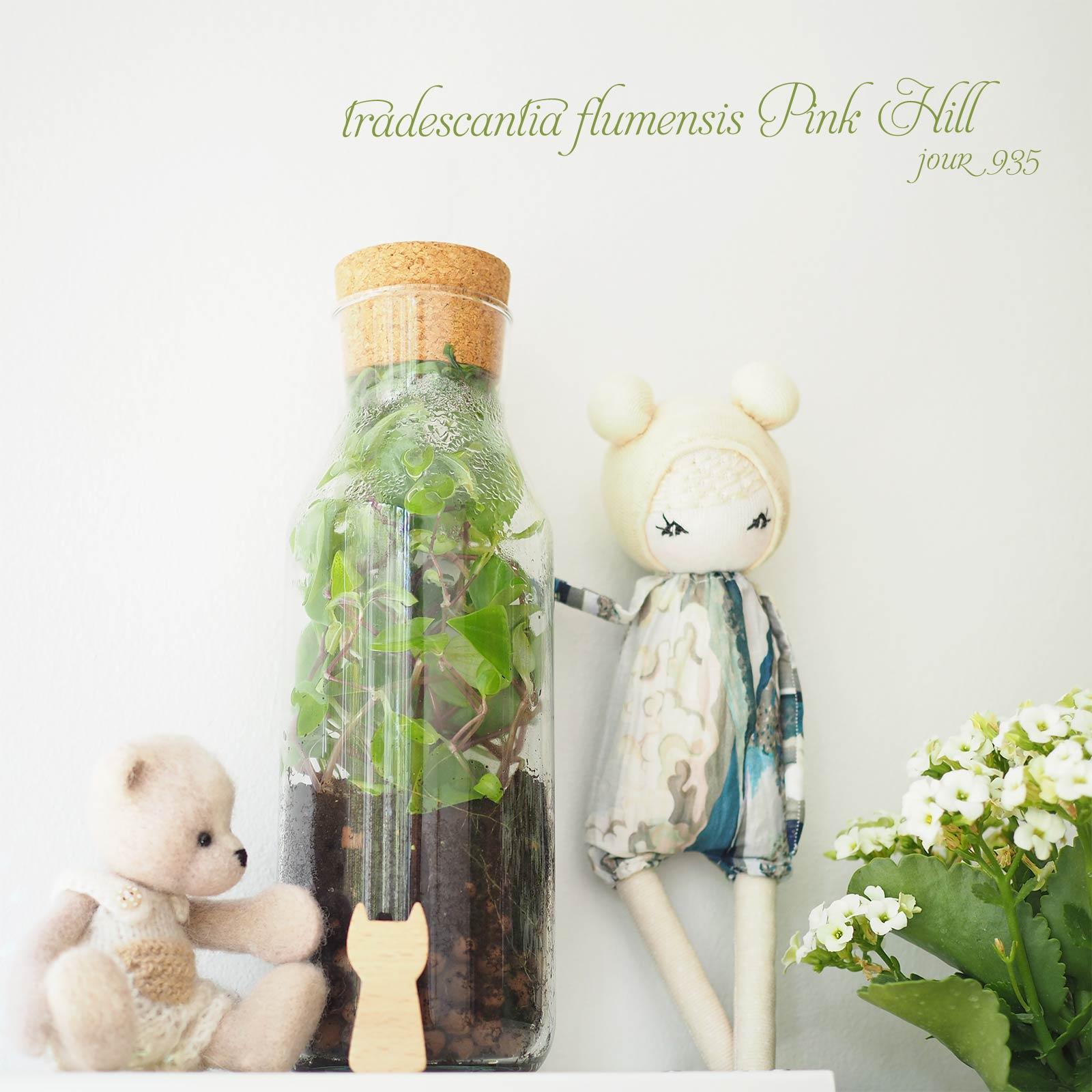 bouteille misère tradescantia fluminensis pink hill jour 935 Boutique MeliMelo