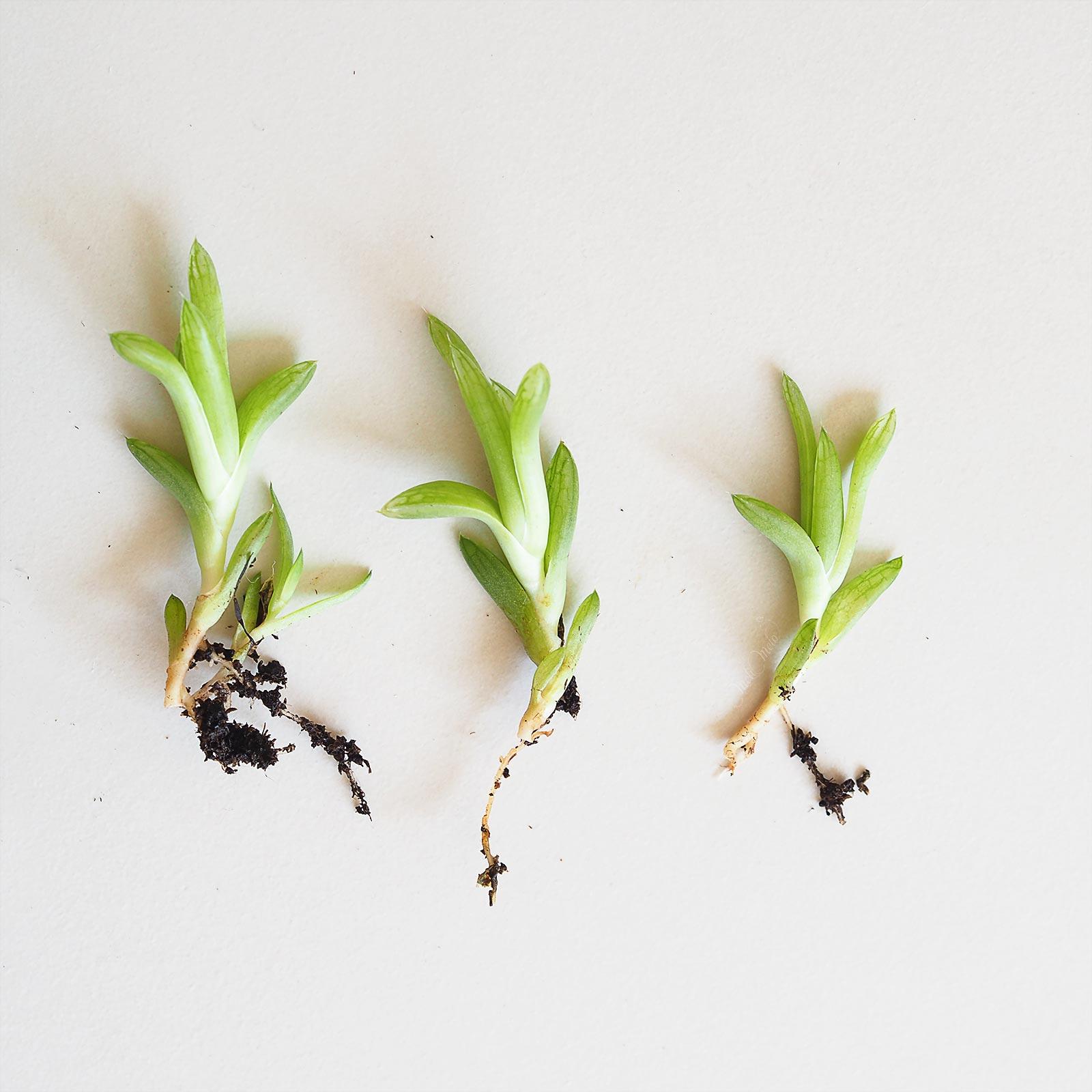 bouturage rejets racines succulente Haworthia Cymbiformis La Boutique de MeliMelo