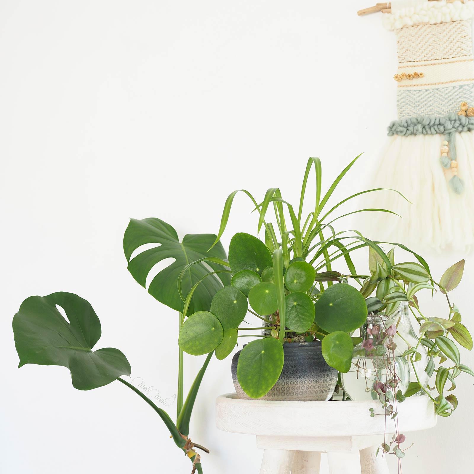 boutures-urban-jungle-pilea-peperomioides-misere-monstera-deliciosa-laboutiquedemelimelo