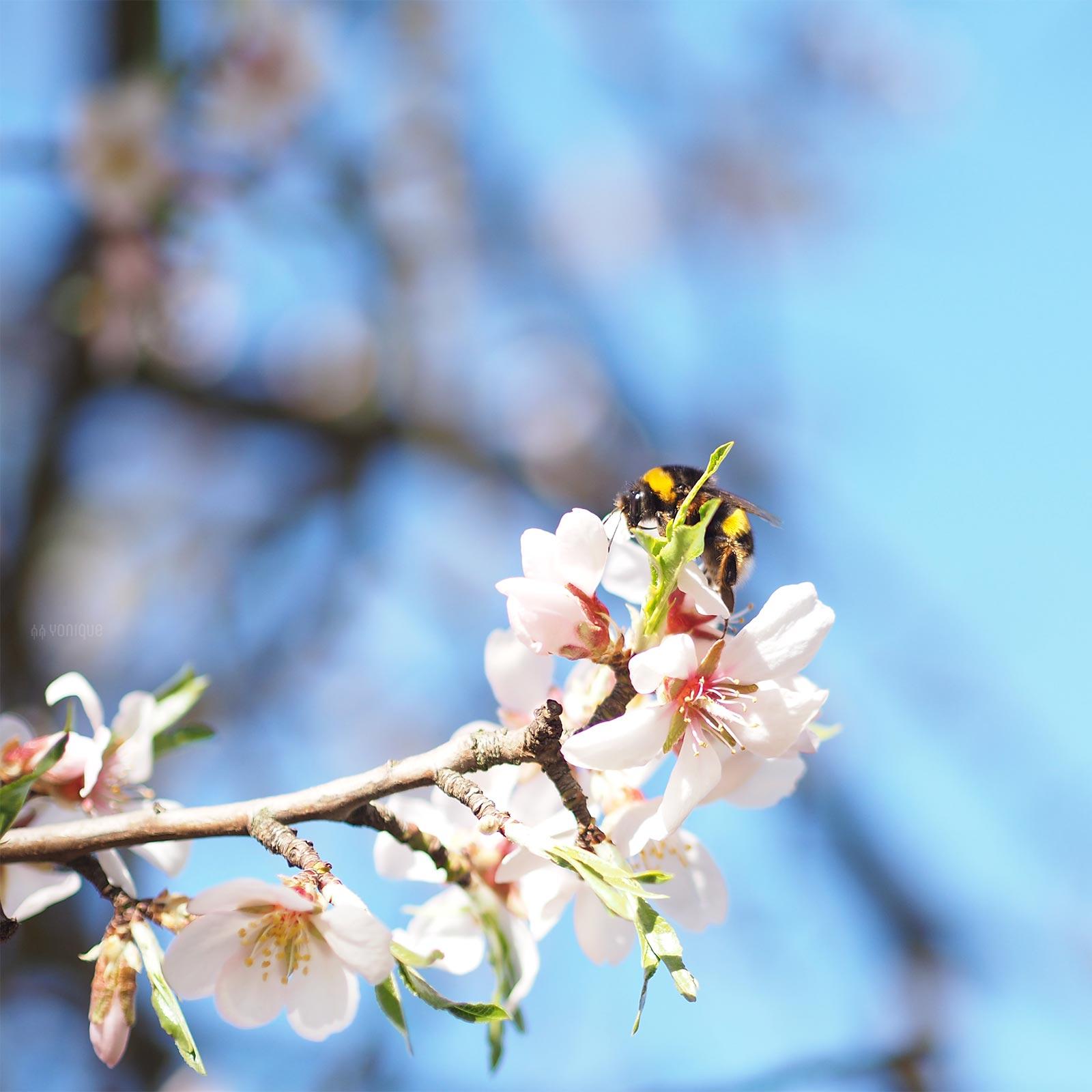 bumblebee-primavera-marzo-spring-bourdon-almon-amandier-yoniquenews