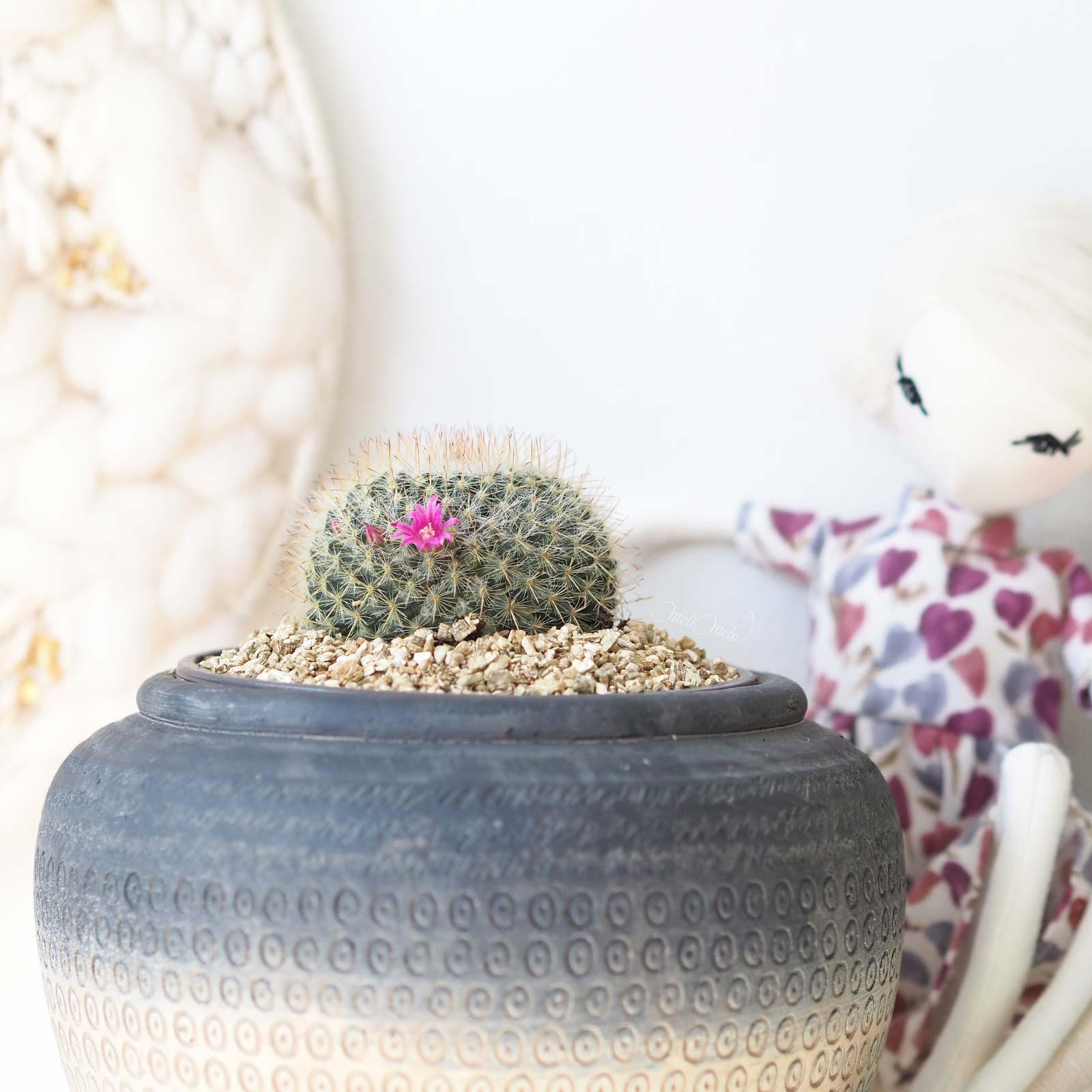 cactus coussin mamillaria candida floraison Boutique MeliMelo