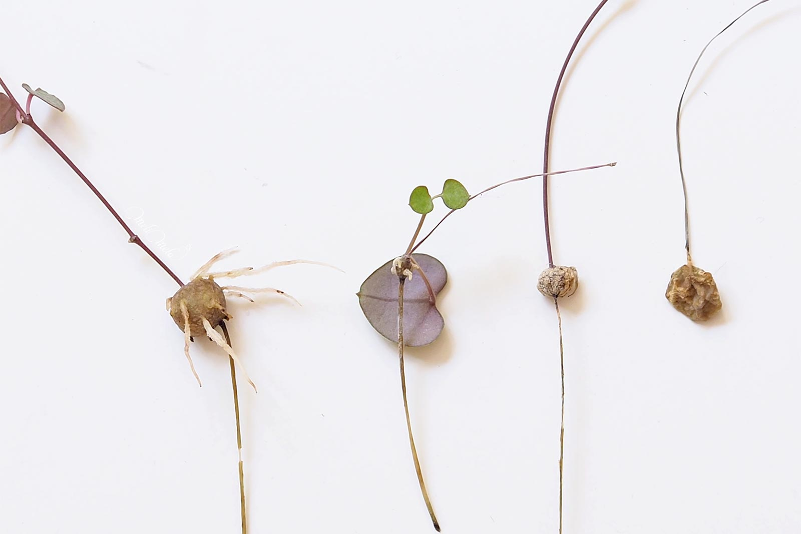 ceropegia-woodii-bouture-racines-tubercule-laboutiquedemelimelo