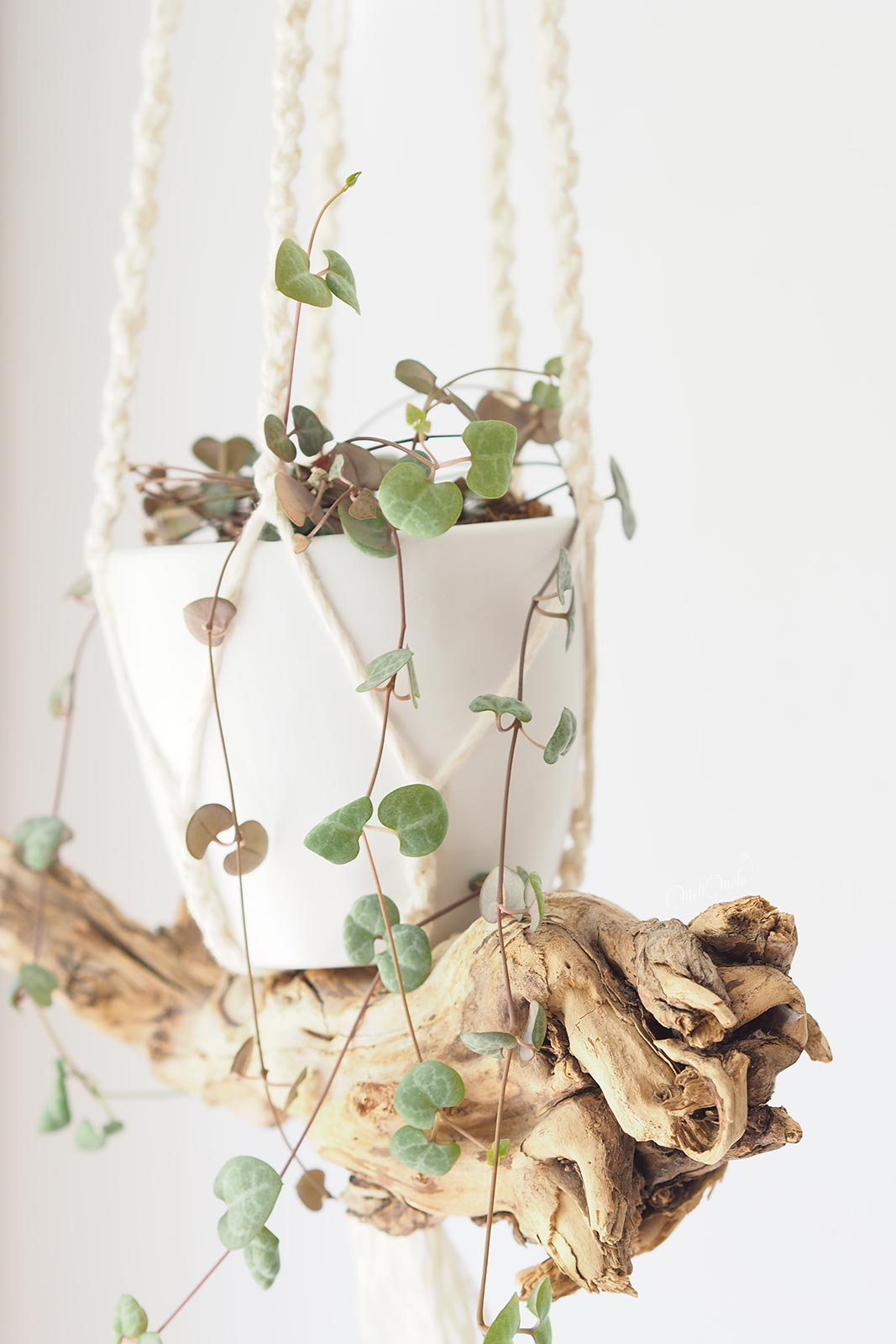 ceropegia-woodii-bouture-tubercules-suspension-bois-laboutiquedemelimelo