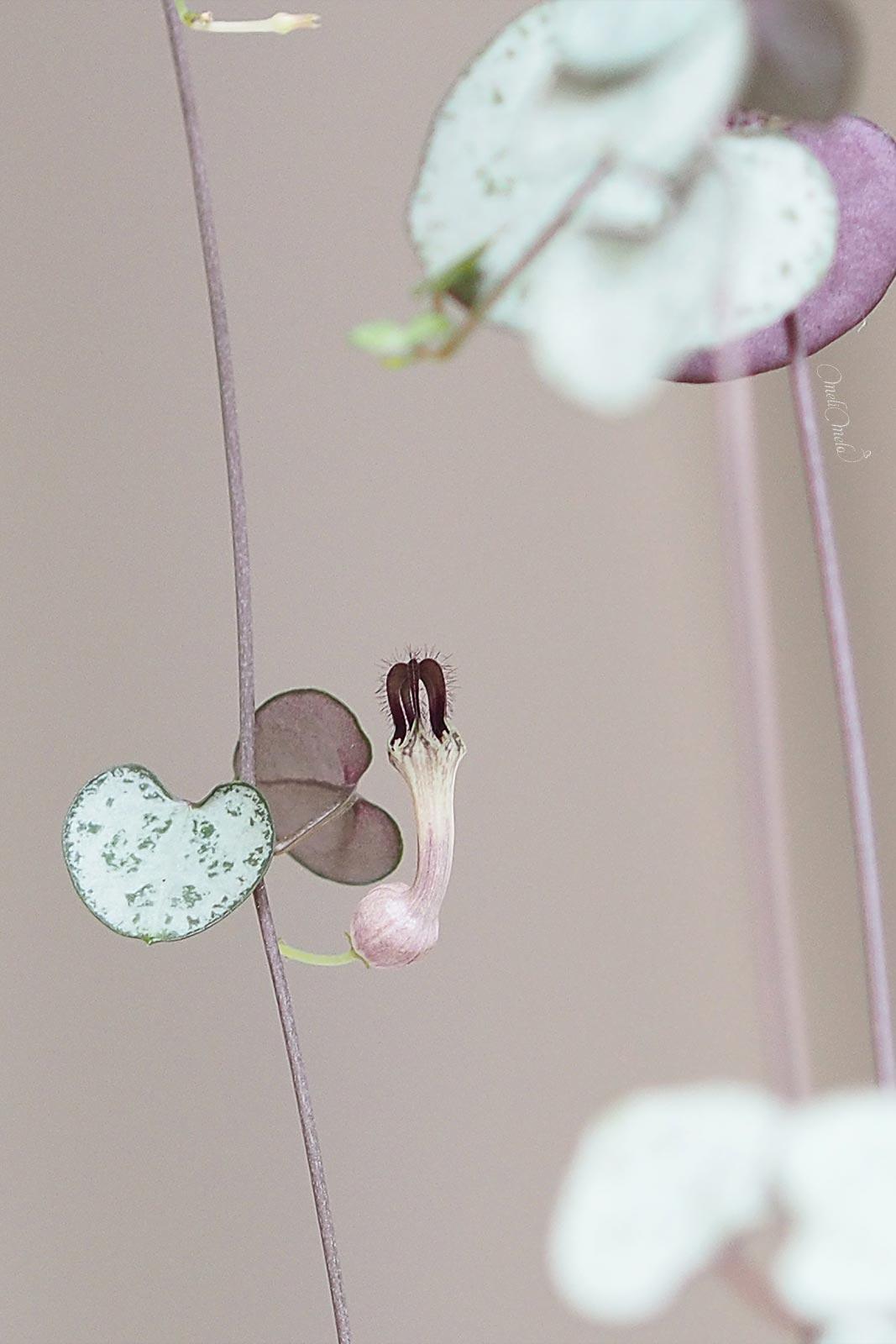 ceropegia-woodii-fleur-v-laboutiquedemelimelo
