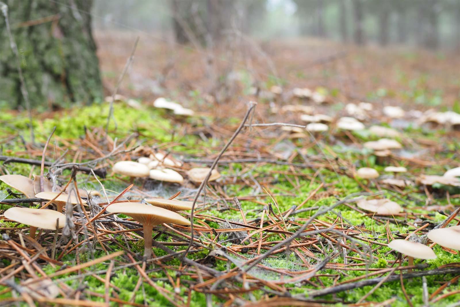 champignons pinède hiver setas pinar invierno Castilla y León yoniquenews