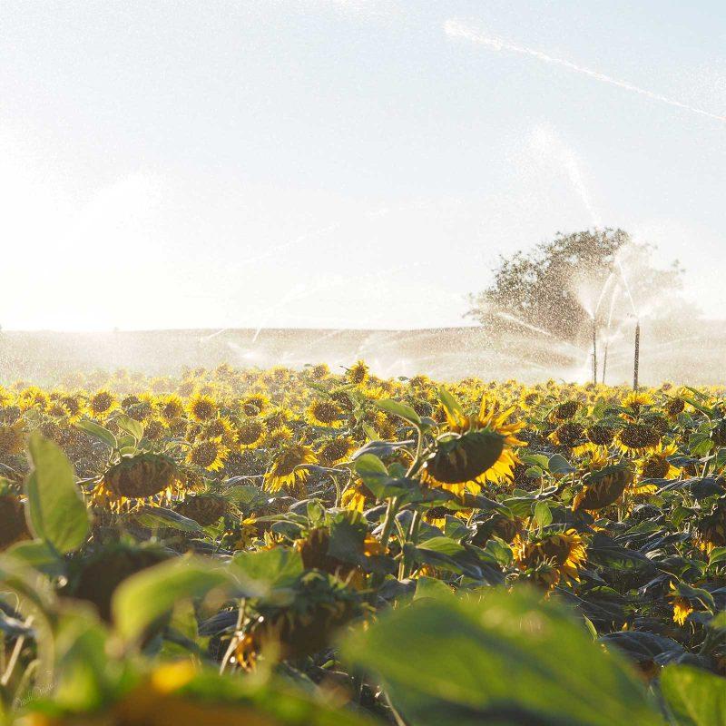 arrosage champs tournesols sunflowers Castilla y León summer blue sky Spain laboutiquedemelimelo