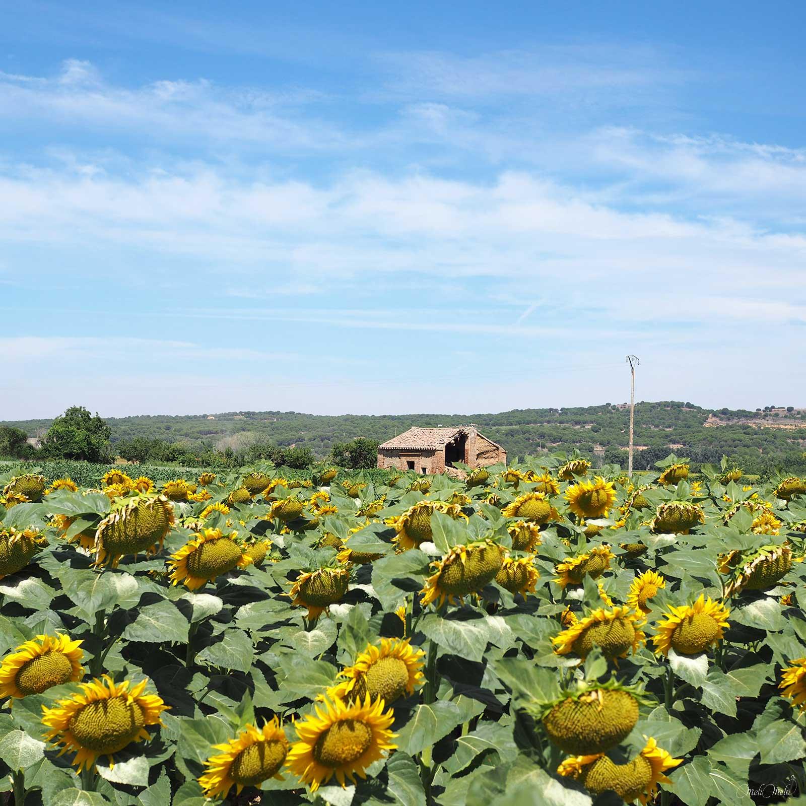 champs de tournesols sunflowers Castilla y León summer blue sky Spain laboutiquedemelimelo