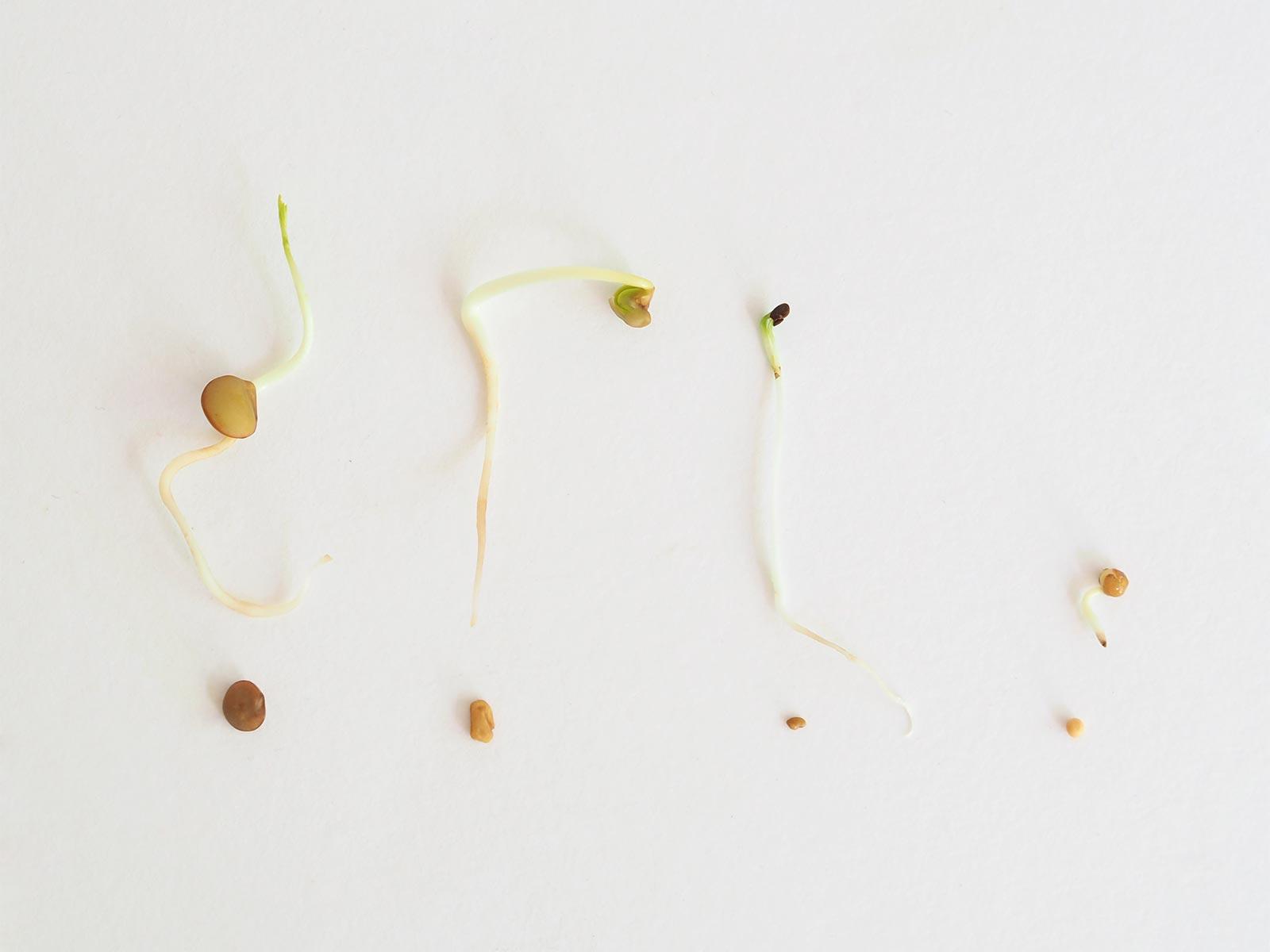 comparaison-graines-germes-bio-moutarde-lentilles-fenugrec-alfalfa-jour-4