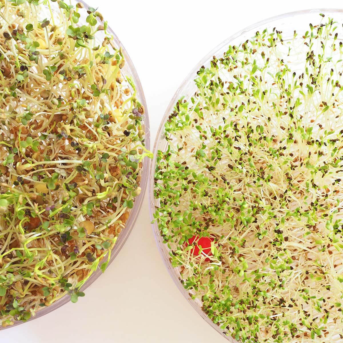 comparaison graines germées bio moutarde-lentilles-fenugrec / alfalfa jour 6