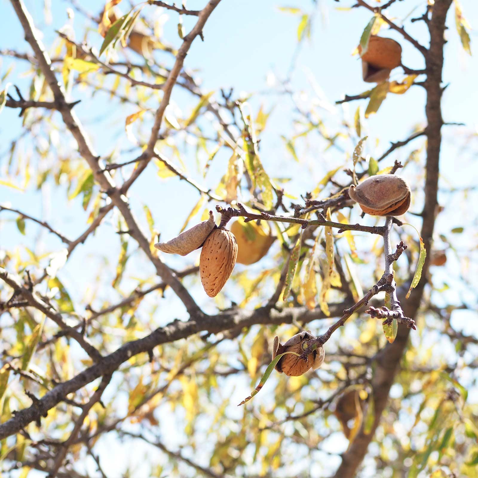 cueillette amande été indien octobre à velo en bici Valladolid yoniquenews