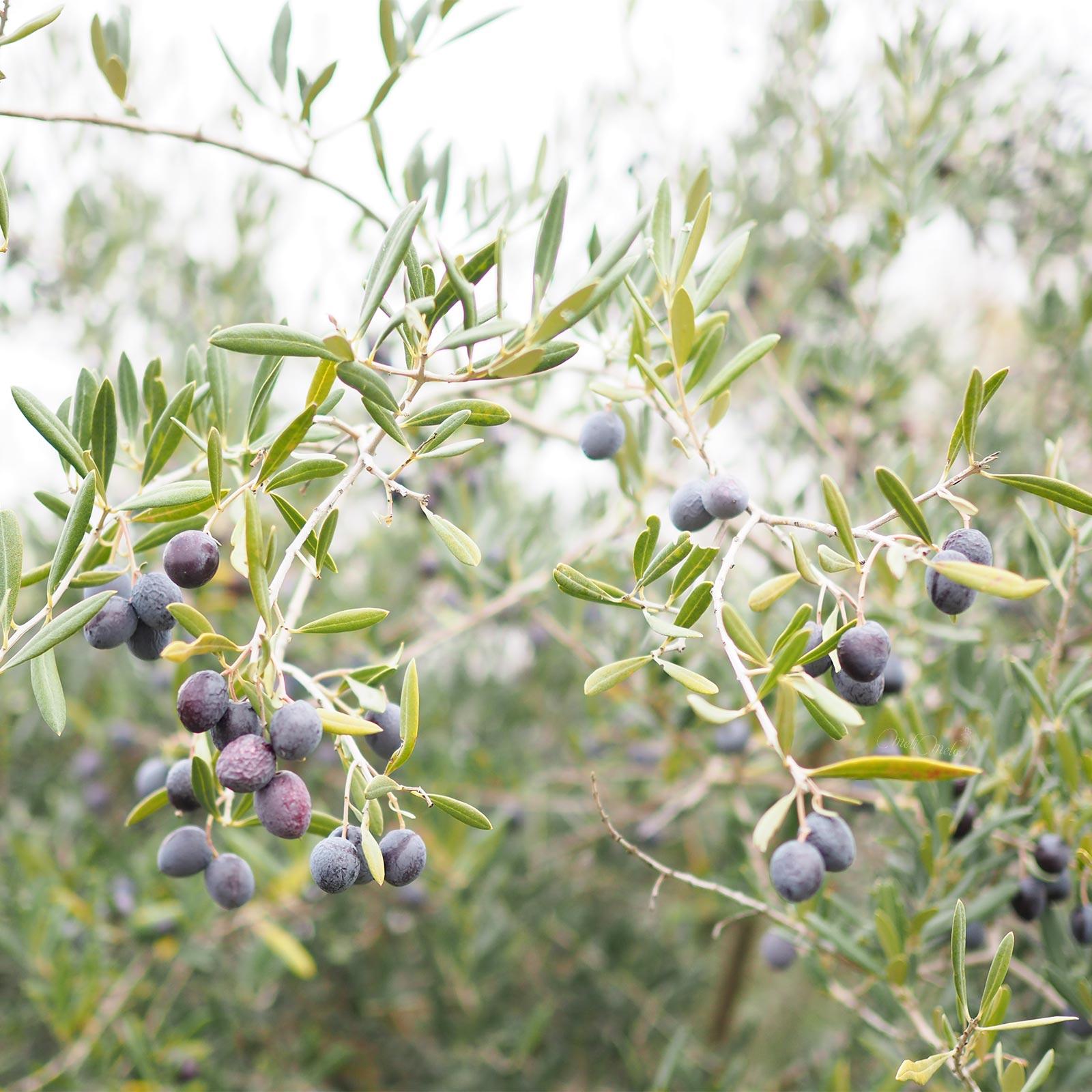 cueillette-olives-jardin-bamba-decembre-aceitunas-invierno