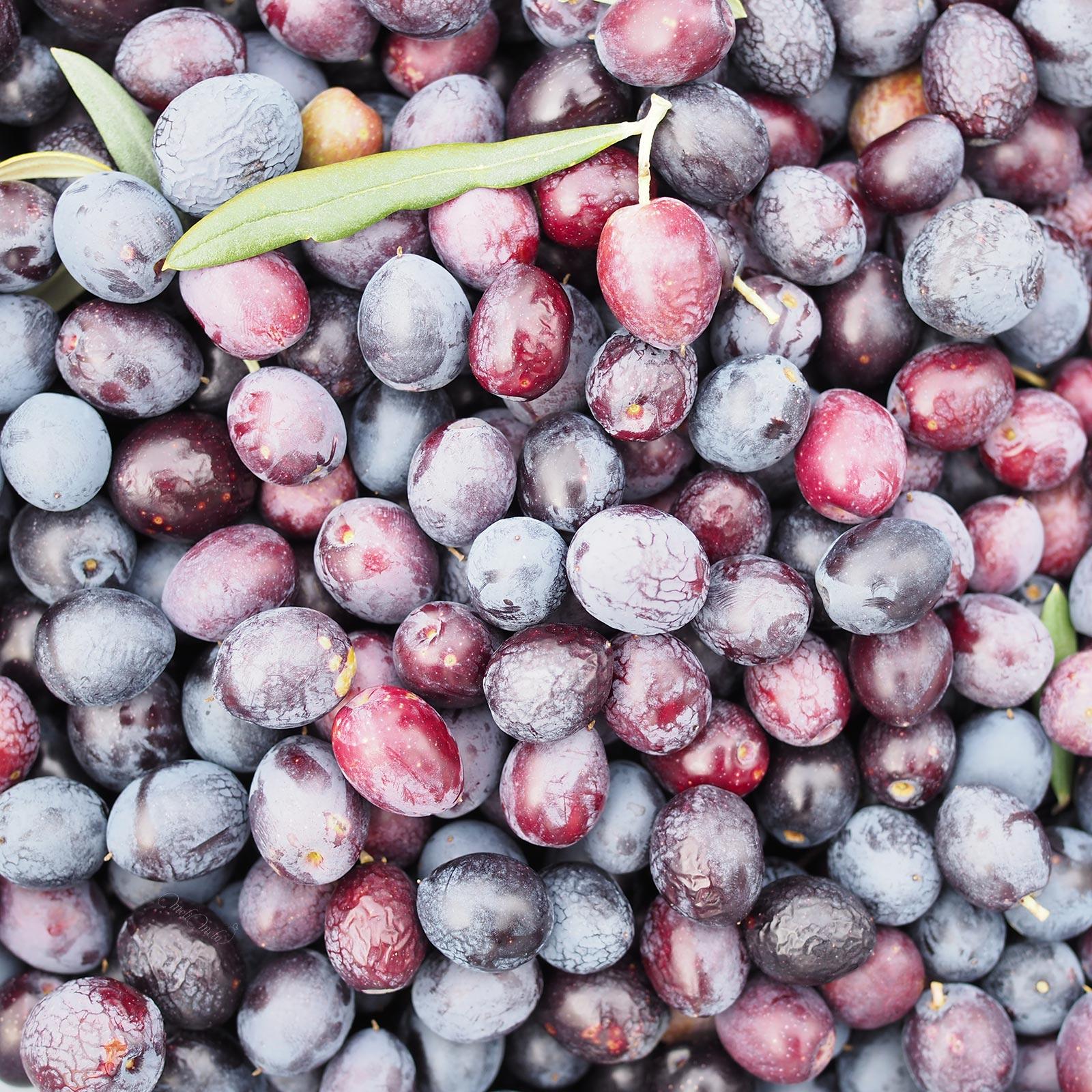 aceitunas cueillette-olives-jardin-bamba