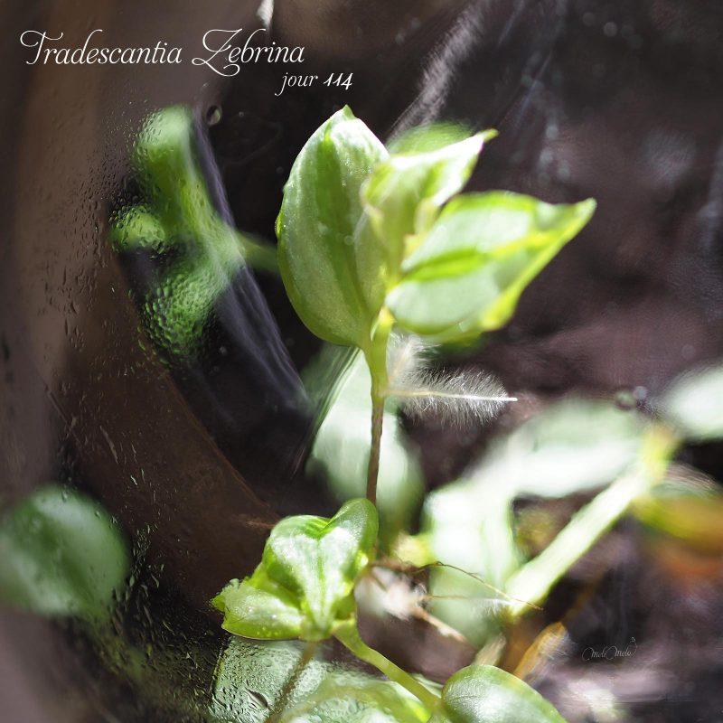 Nouvelles feuilles et racines Tradescantia Zebrina laboutiquedemelimelo