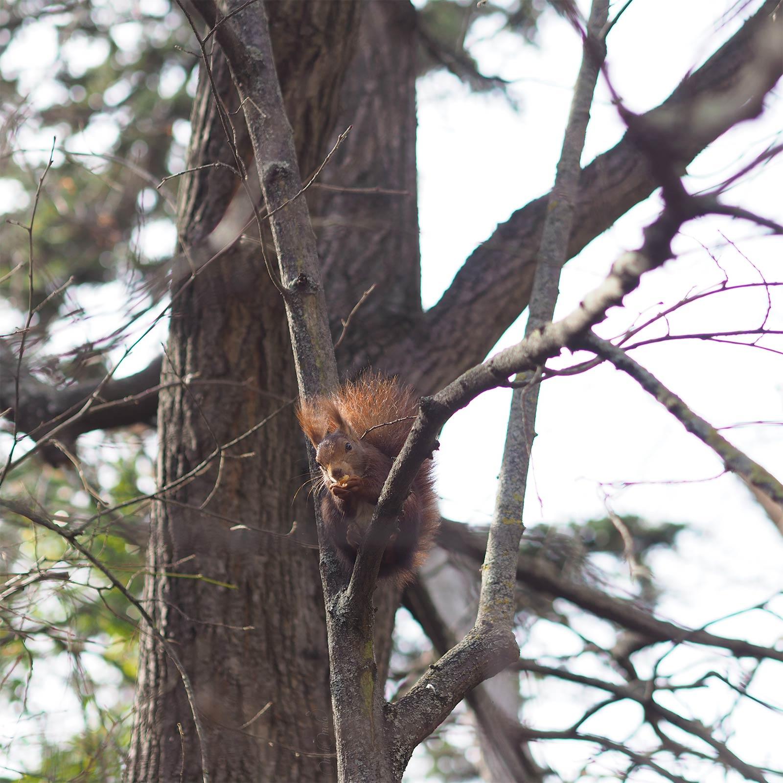 écureuil roux mars hiver squirrel ardilla yoniquenews