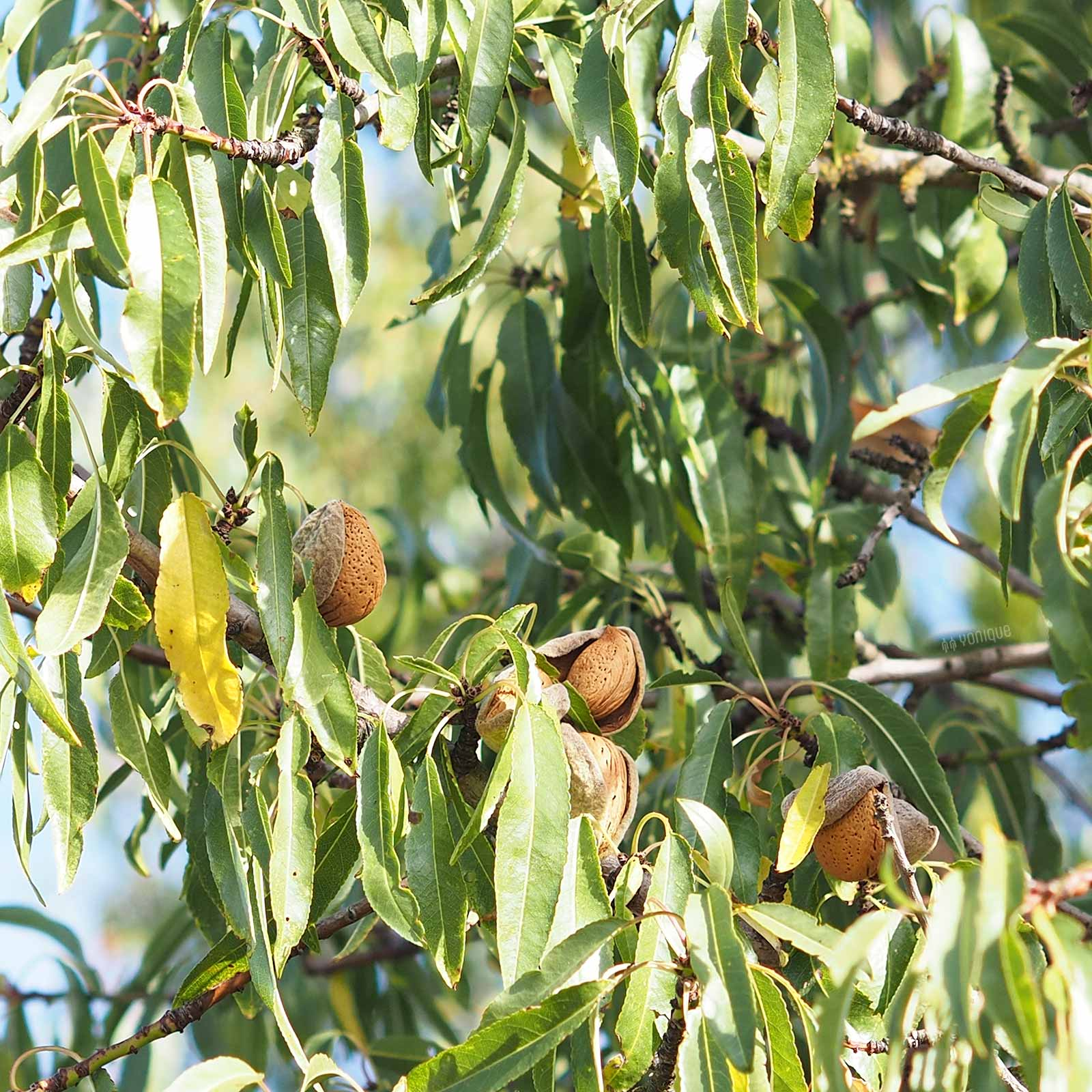 ete-amandier-almond-september-cigales-castilla-leon-verano-laboutiquedemelimelo