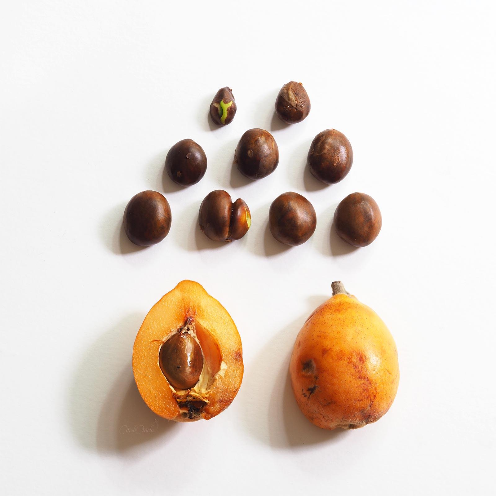 évolution graines plante néflier jour 0 laboutiquedemelimelo