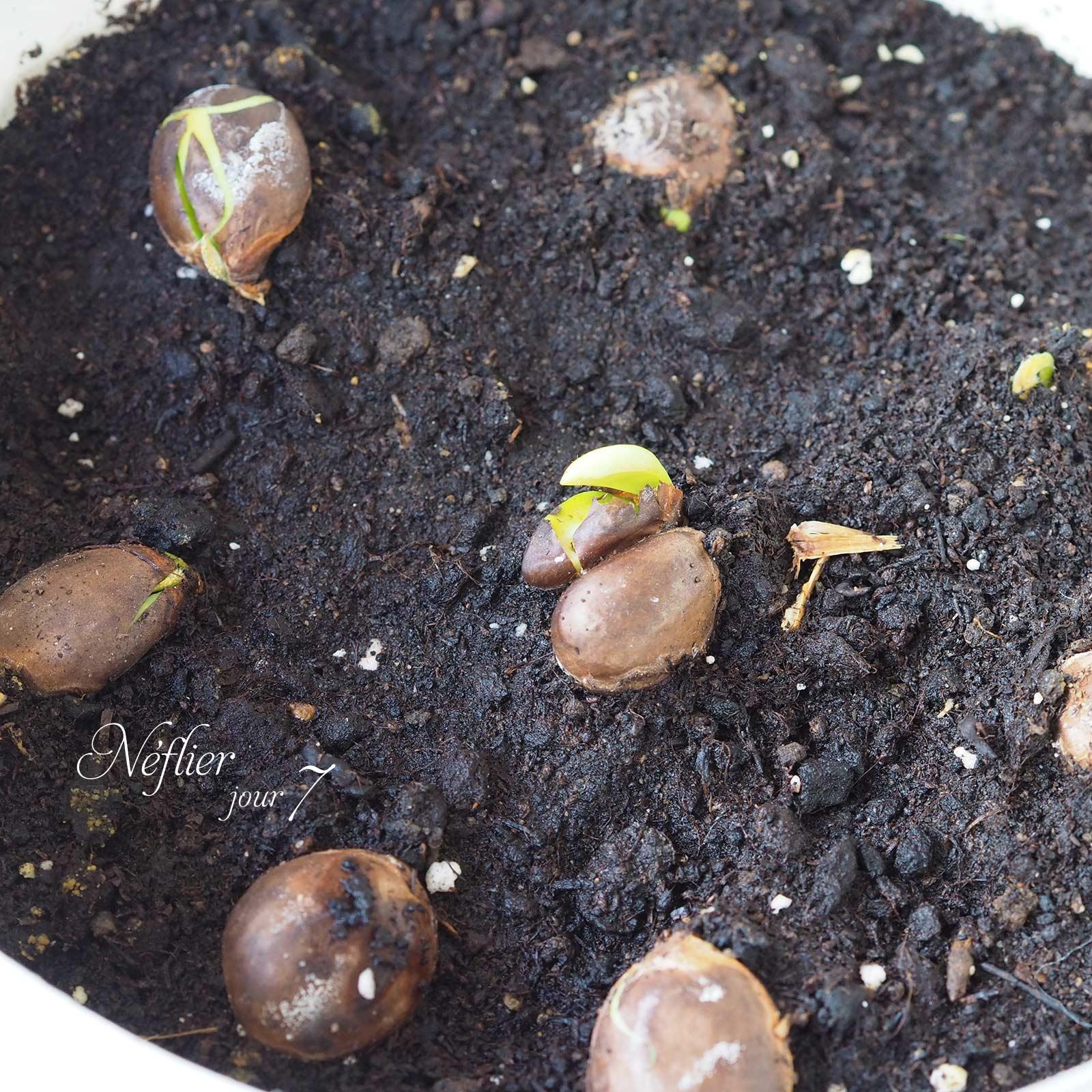 évolution graines plante néflier jour 7 laboutiquedemelimelo