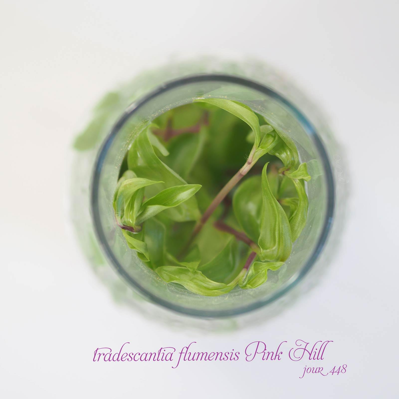 feuilles bouteille misère tradescantia fluminensis Pink Hill jour 448 Boutique MeliMelo