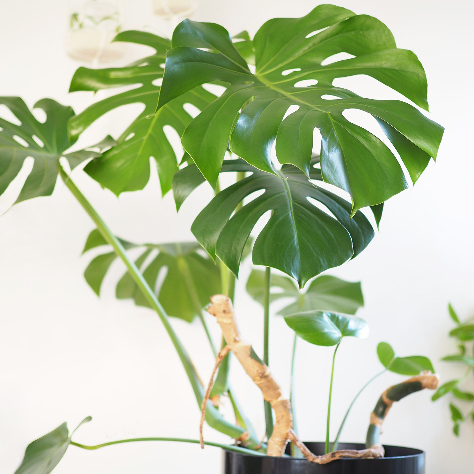 feuilles plante monstera deliciosa bouture atelier laboutiquedemelimelo