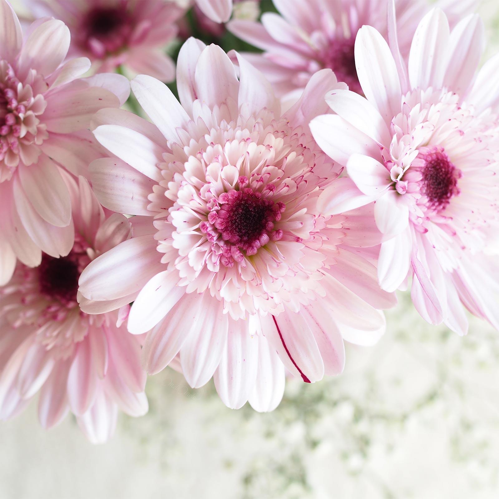 fleurs gerbera rose inspiration broderie Boutique MeliMelo