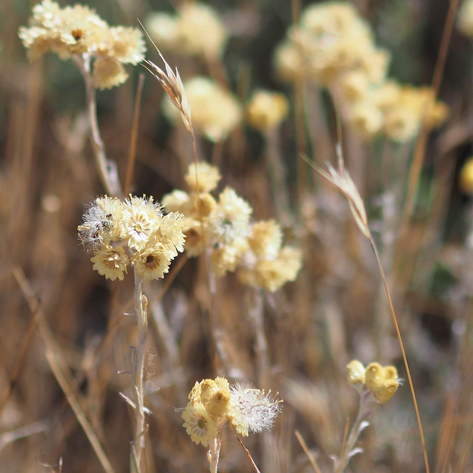 fleurs-immortelle-helichrysum-stoechas-moench-siempreviva-montes-torozos-yoniquenews-laboutiquedemelimelo