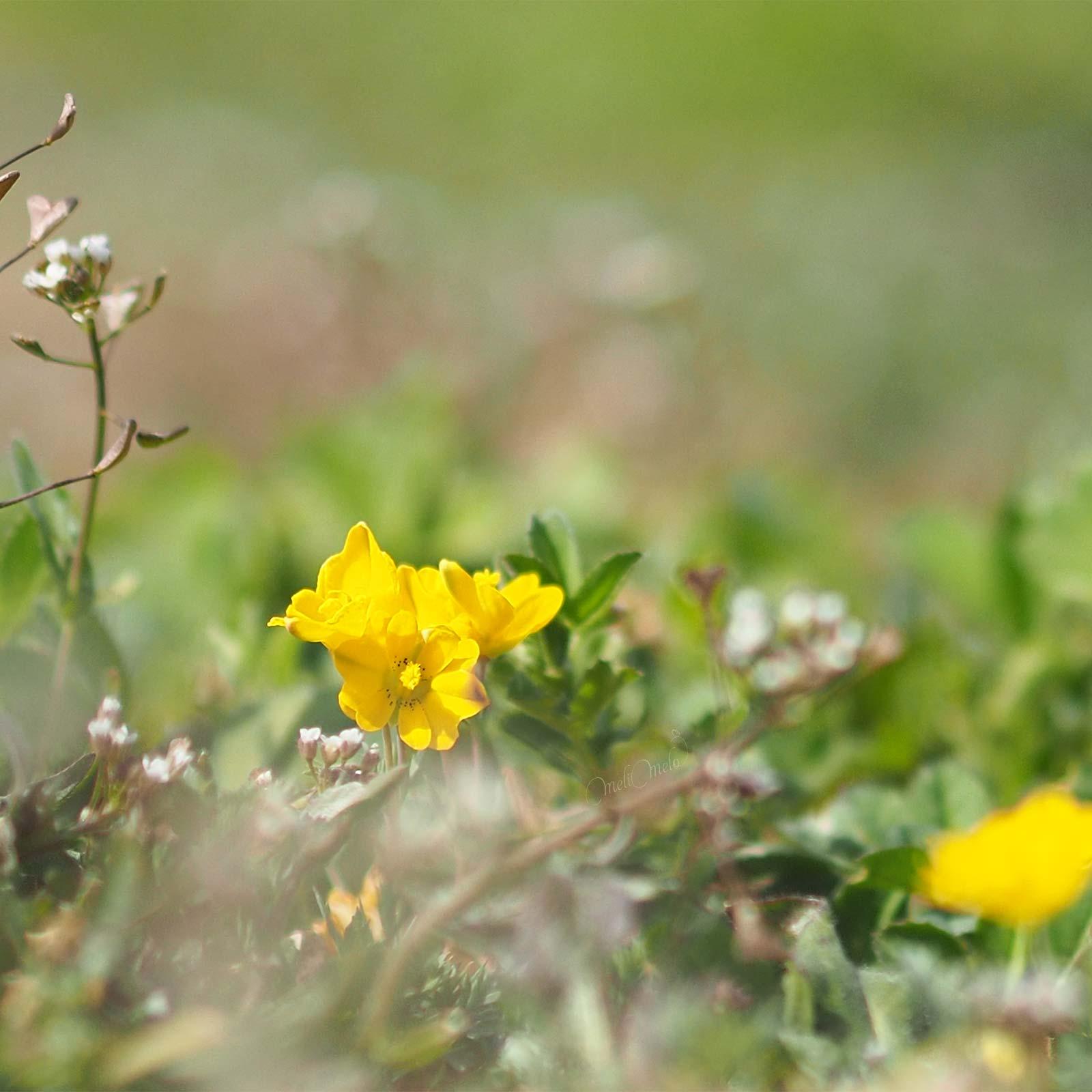 fleurs-jaune-printemps