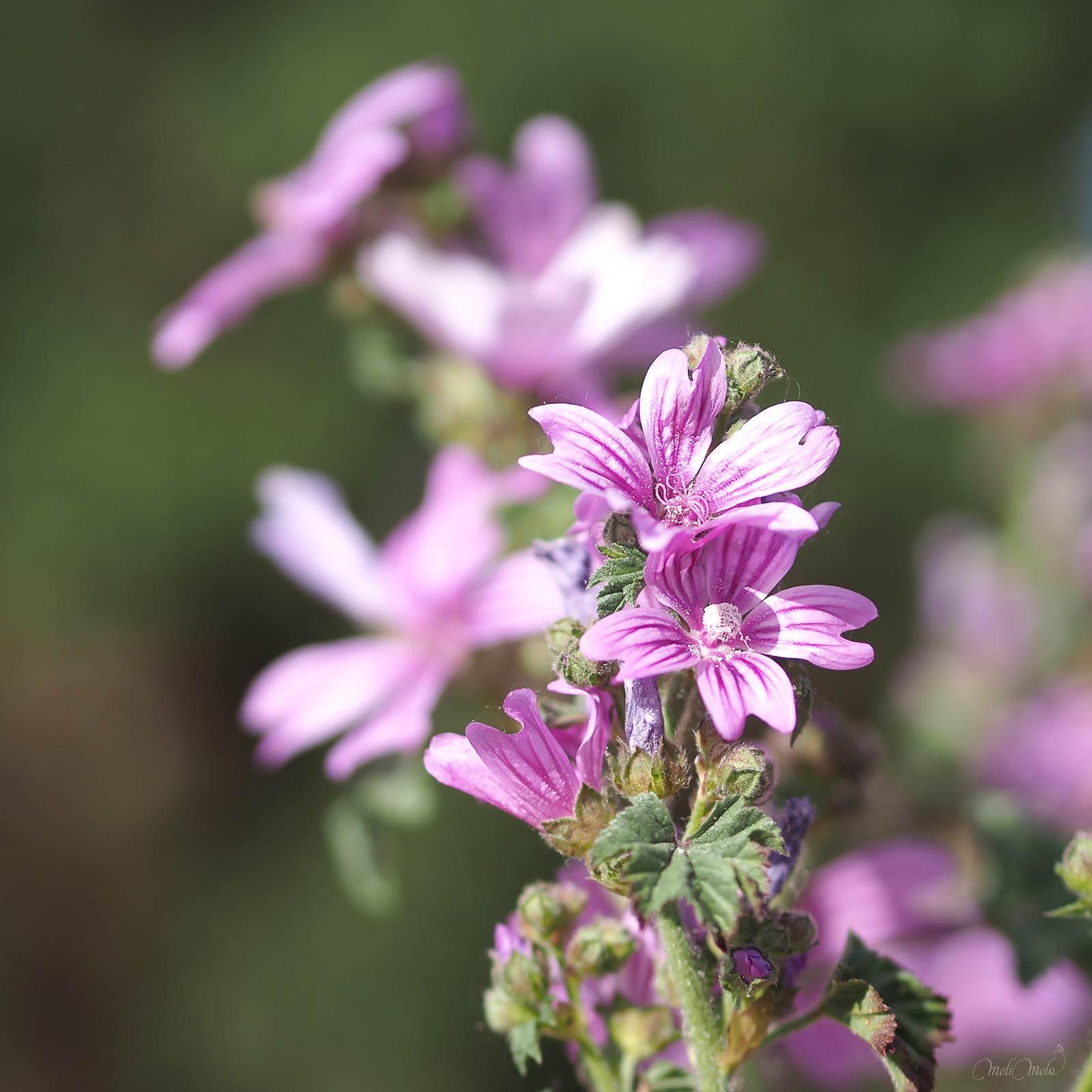 fleurs mauves Malva Sylvestris printemps laboutiquedemelimelo