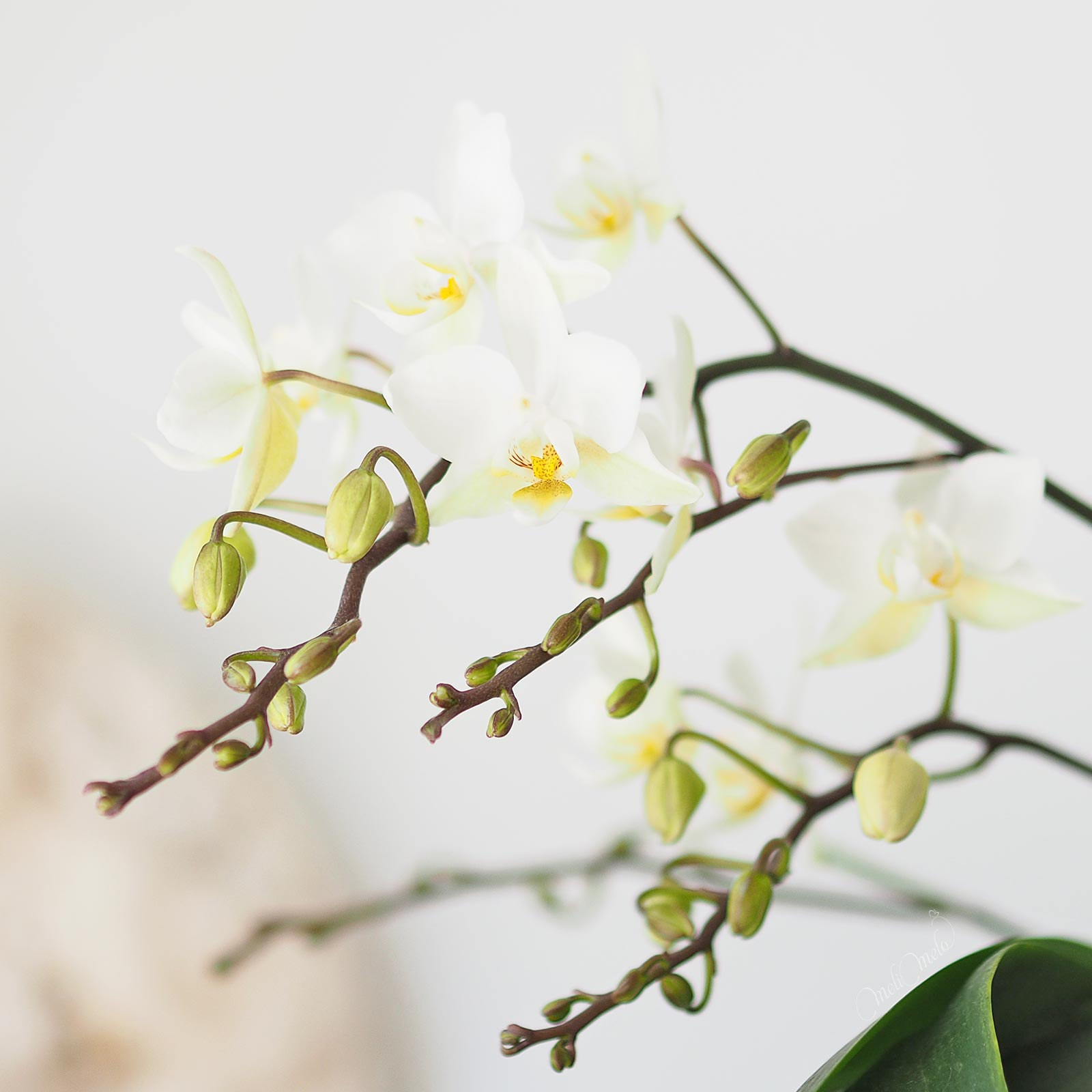 floraison-bourgeons-orchidee-mini-phalaenopsis-laboutiquedemelimelo