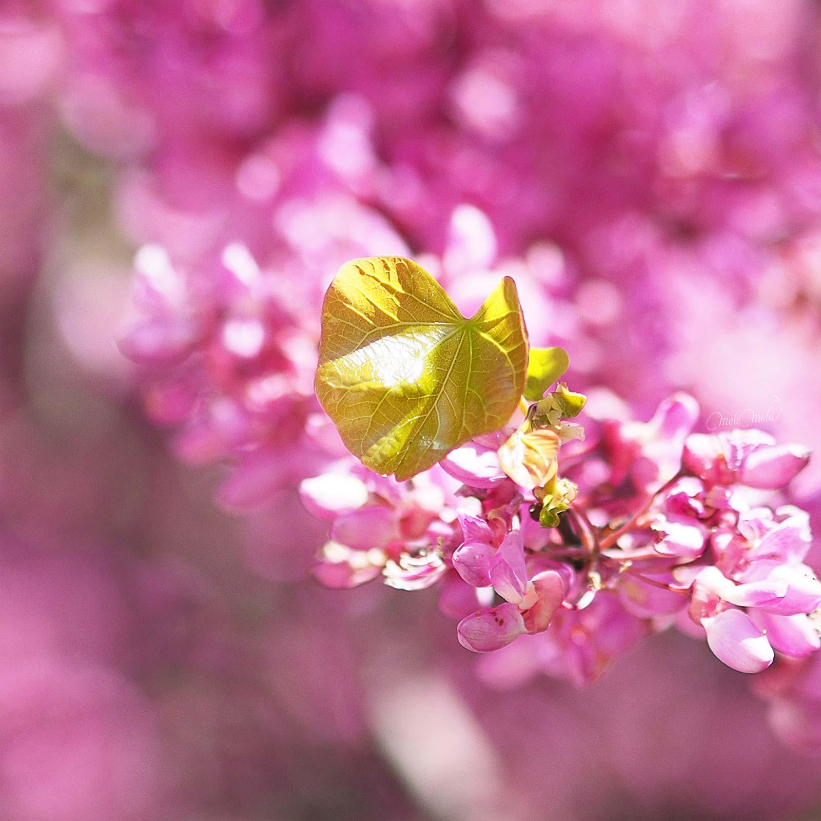 floraison-cercis-arbre-judee-laboutiquedemelimelo
