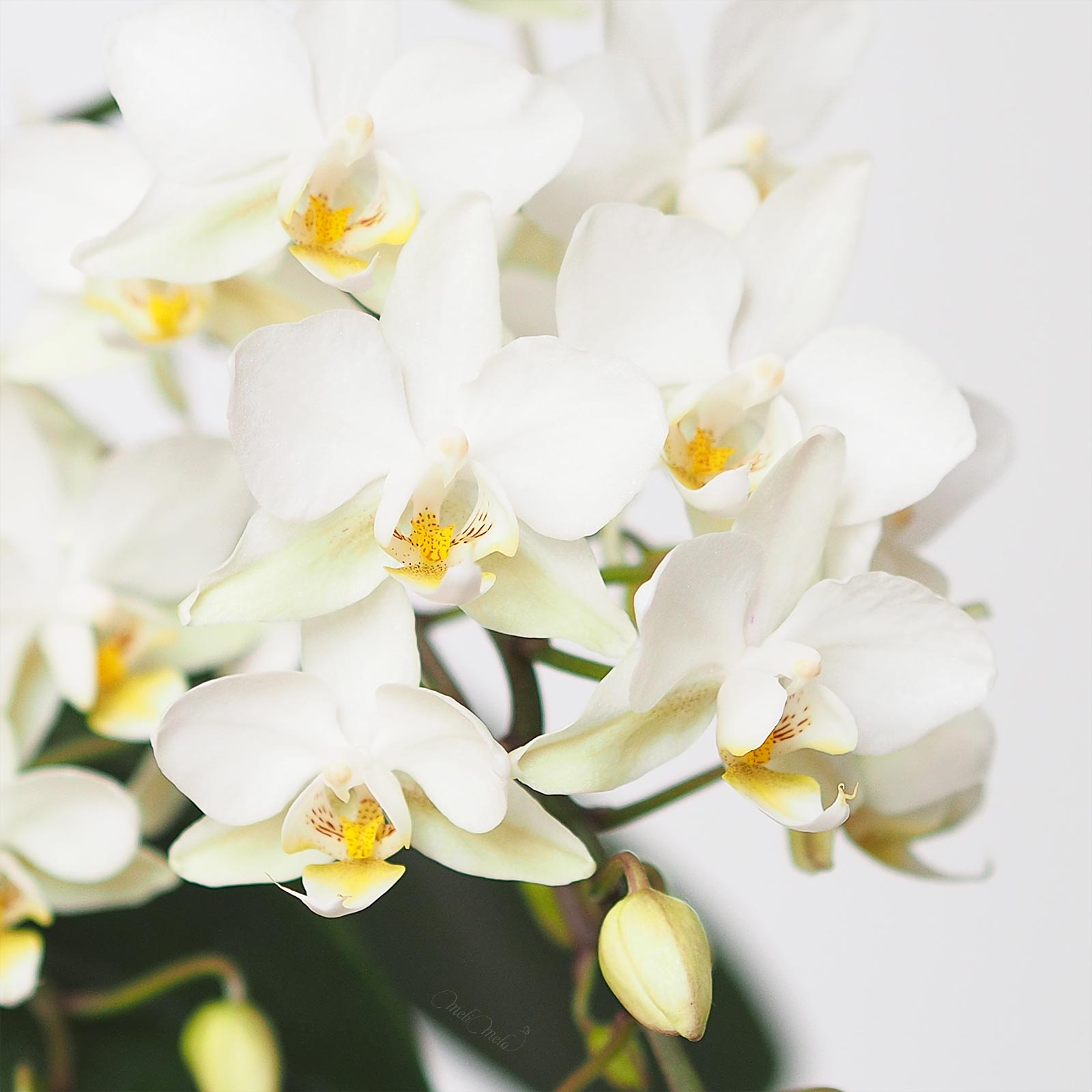 floraison-orchidee-mini-blanche-phalaenopsis-flowersbymelimelo-laboutiquedemelimelo