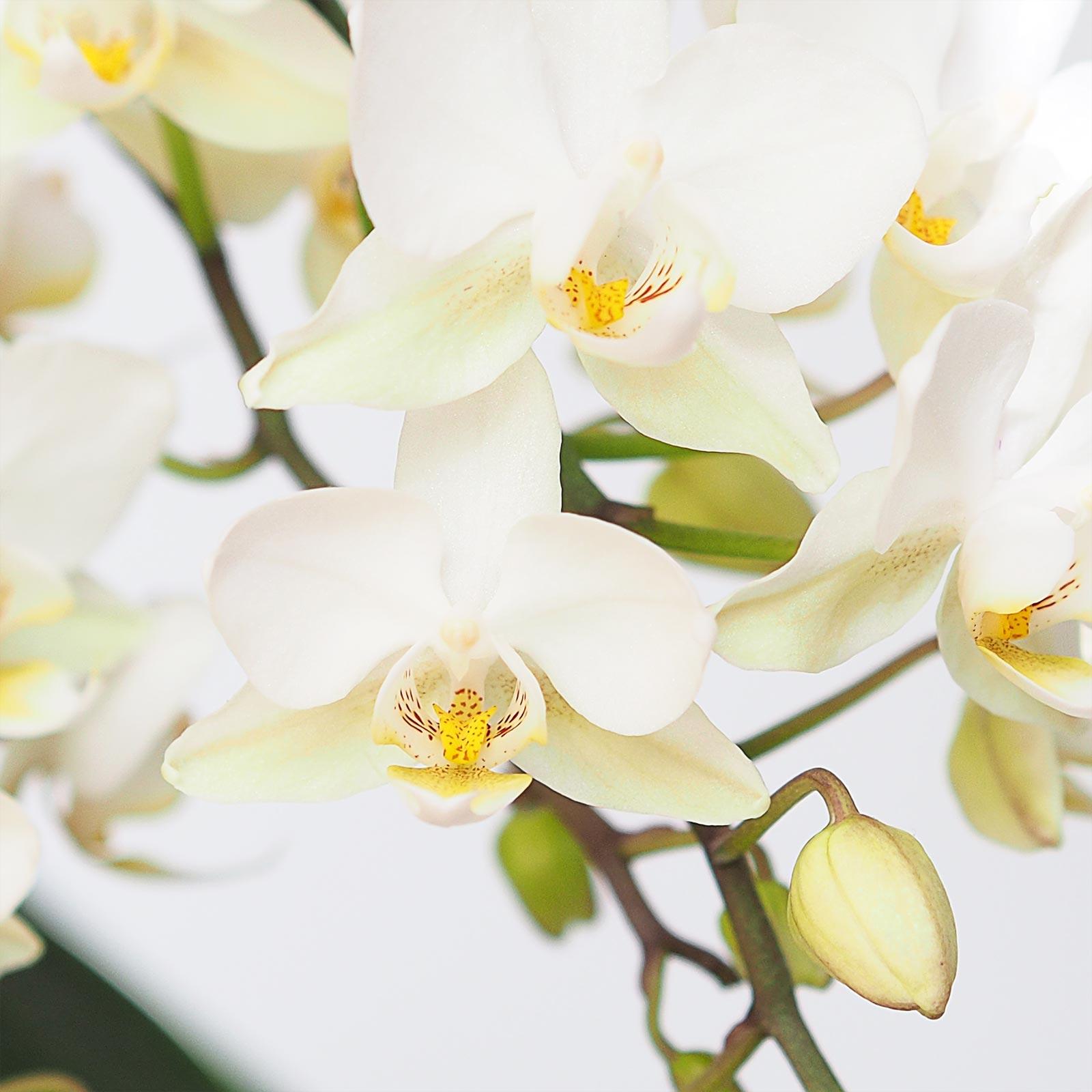 floraison-orchidee-mini-phalaenopsis-blanche-laboutiquedemelimelo