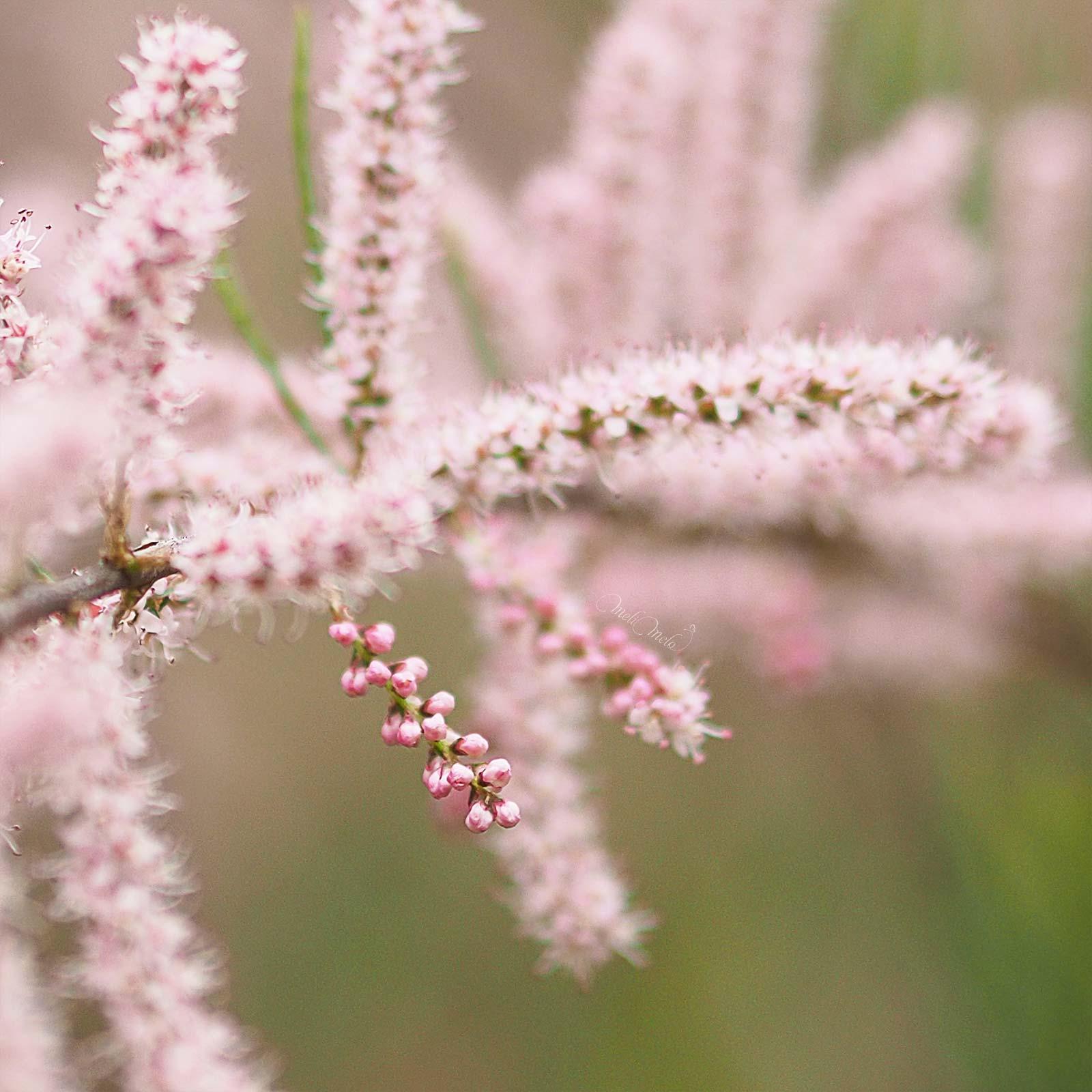 flowersbymelimelo-tamaris-Tamarix-printemps-laboutiquedemelimelo