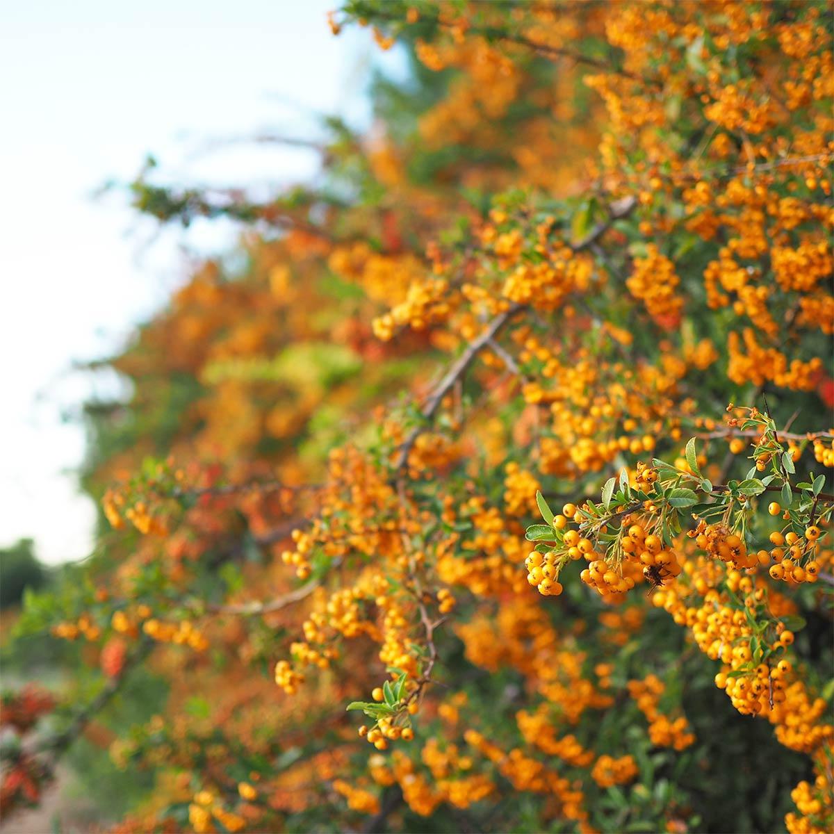 fruits-pyracantha-octobre-automne-yoniquenews