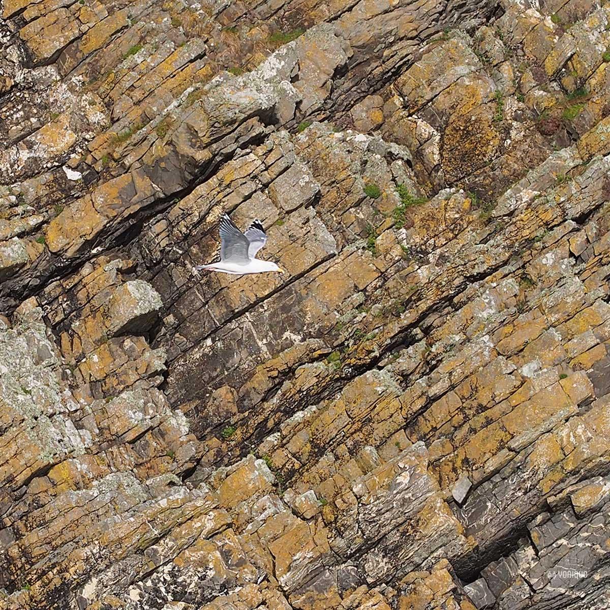 goeland-argente-larus-argentatus-cliff-nohoval-cove-cork-ireland-yoniquenews