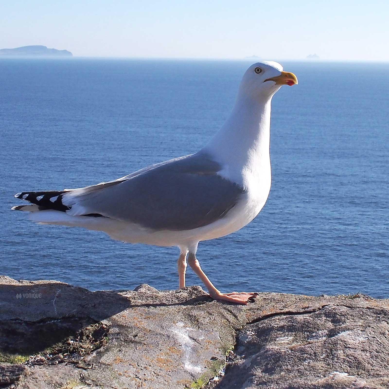 goeland-argente-larus-argentatus-irlande-seagull-yoniquenews