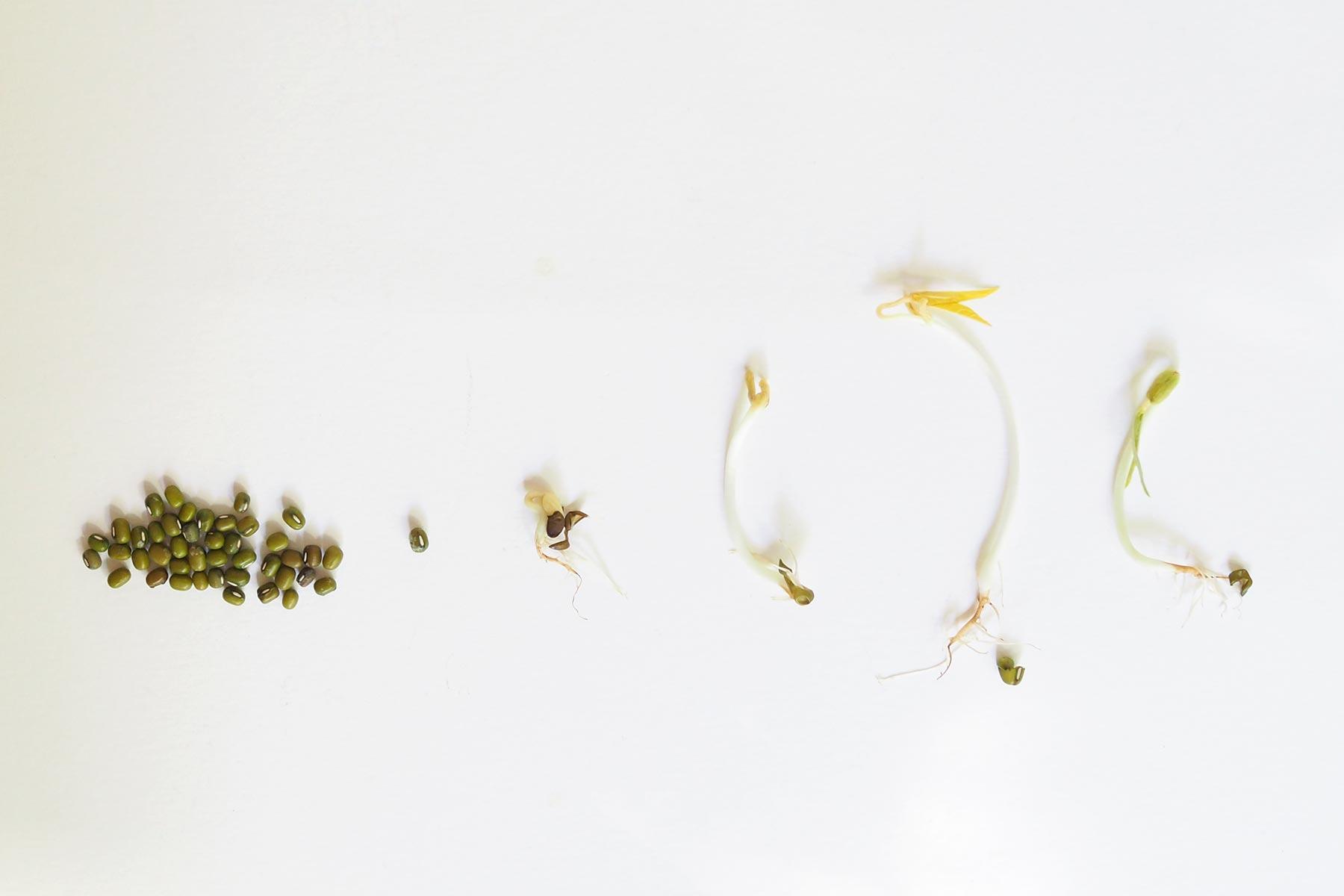 graines germes pousses soja évolution germoir laboutiquedemelimelo