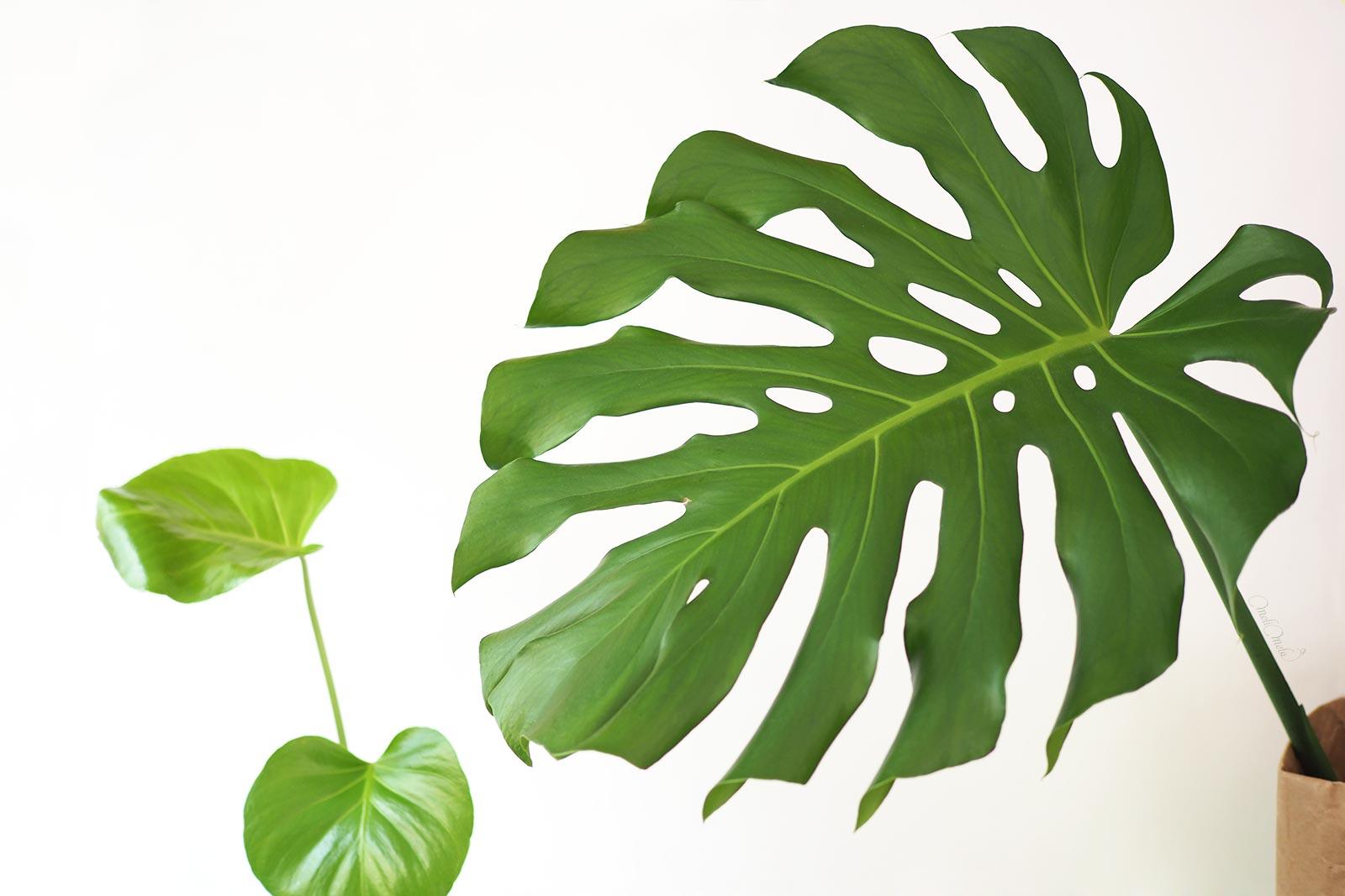 Monstera green life plants make people happy Atelier de MeliMelo