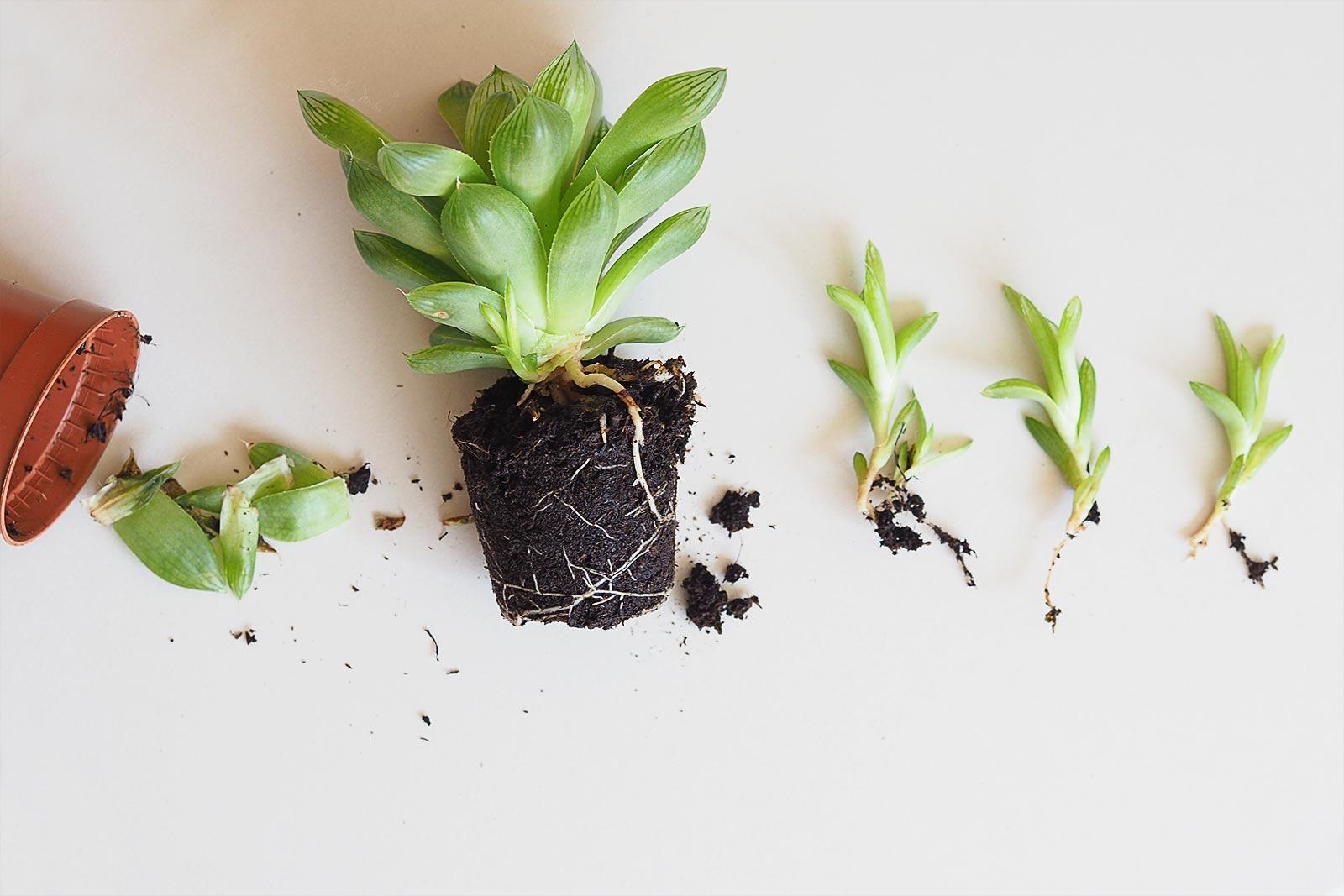 grow care entretien succulent Haworthia Cymbiformis La Boutique de MeliMelo
