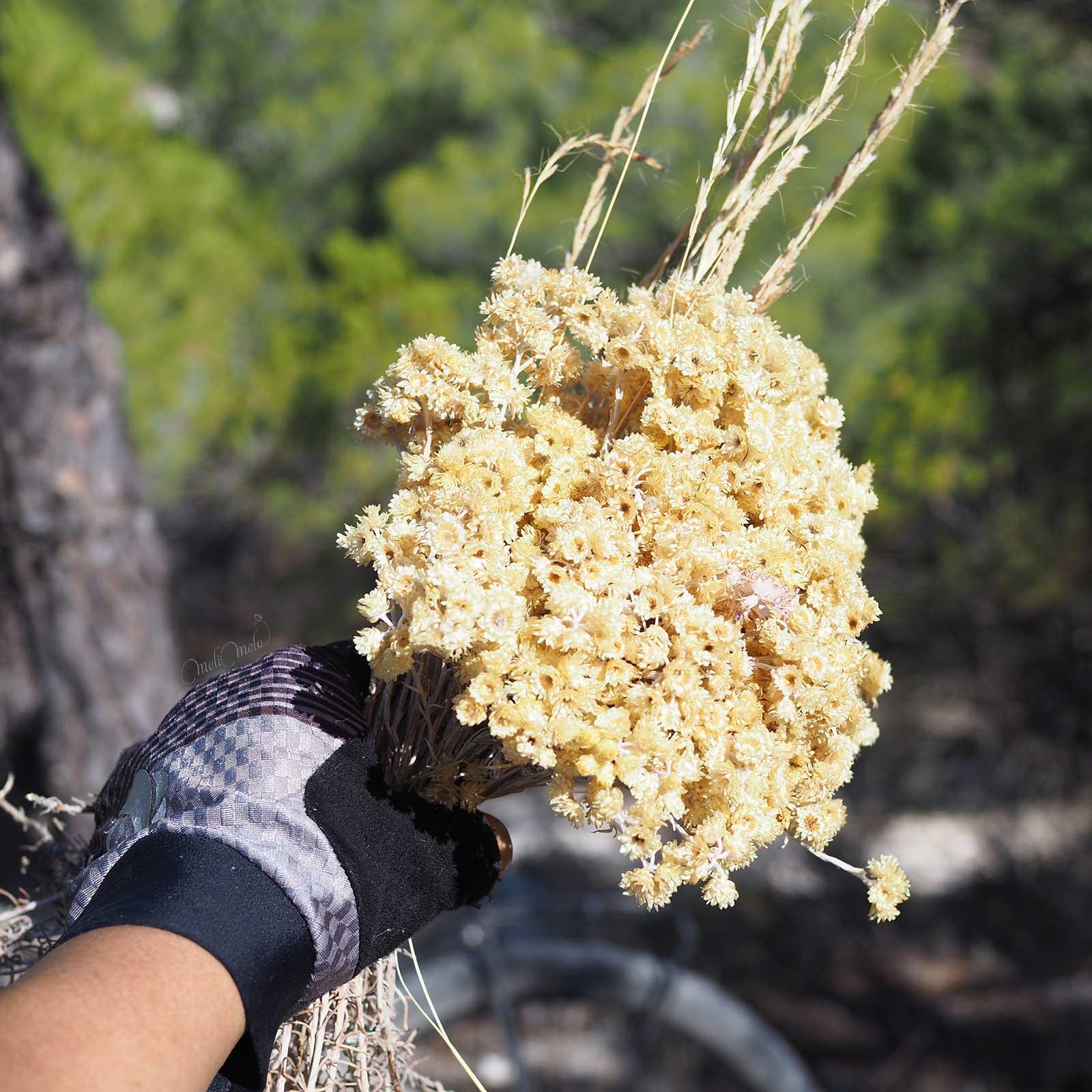 helichrysum-stoechas-moench-siempreviva-montes-torozos-fleurs-immortelle-yoniquenews-laboutiquedemelimelo