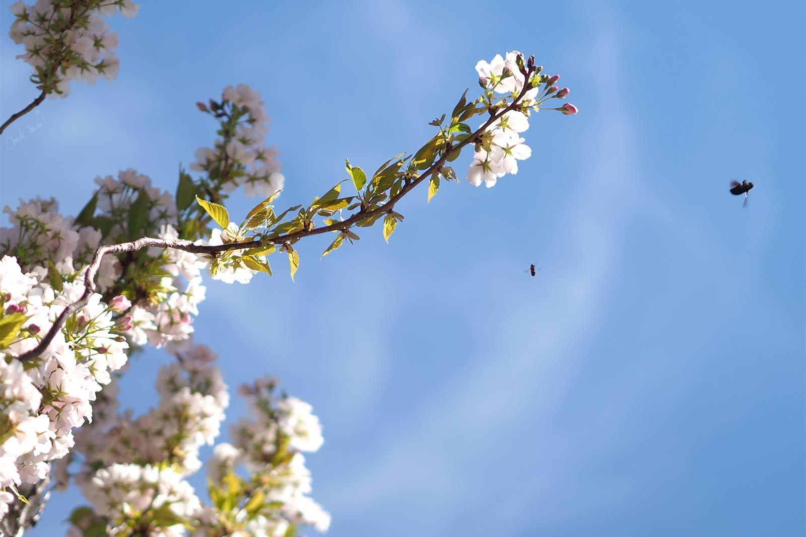 insectes butineuses floraison prunus printemp avril laboutiquedemelimelo