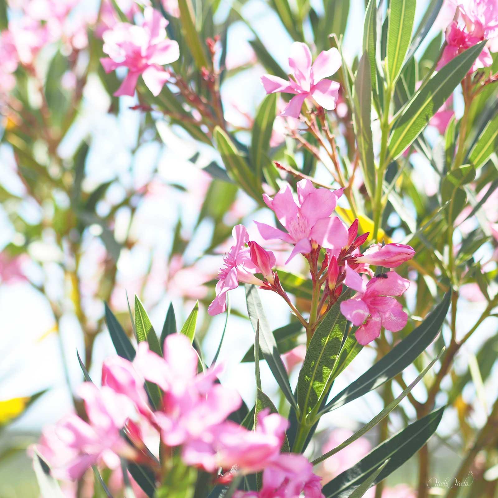 laurier-rose-jardin-laboutiquedemelimelo