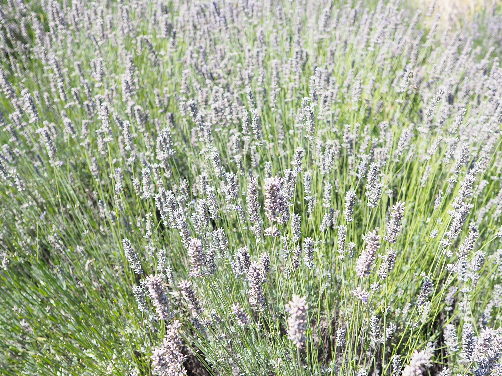 lavande fraîche jardin parfum naturel Valladolid laboutiquedemelimelo